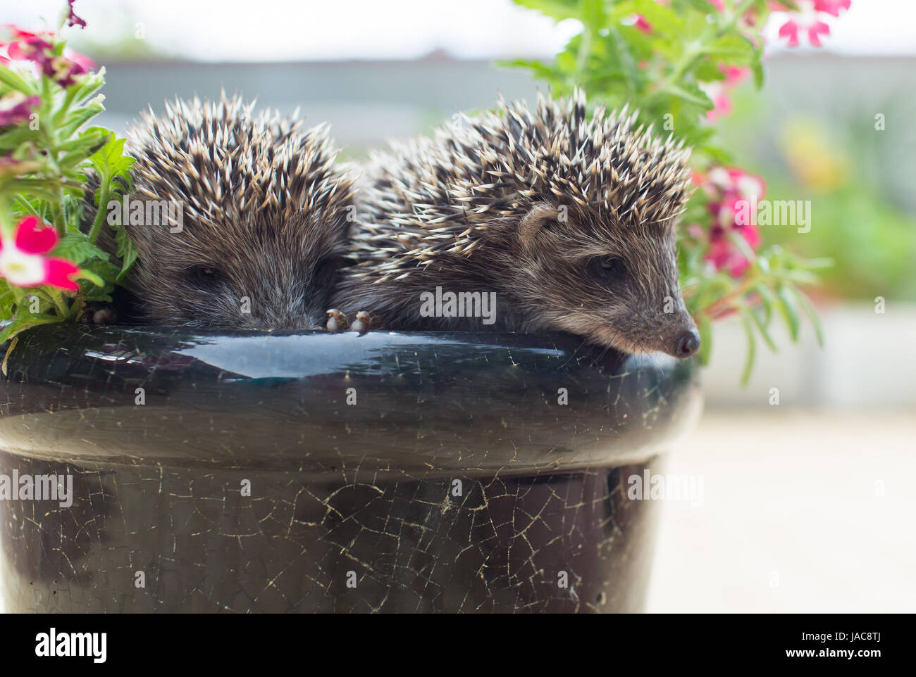 Two little Hedgehog in the pot with flowers - Stock Image