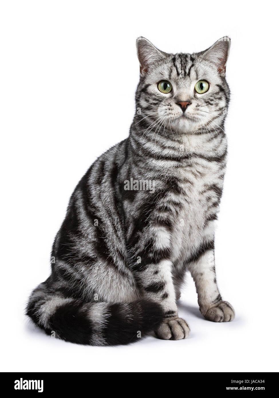 Black tabby British shorthair cat sitting straihgt up on ... Tabby Cat Sitting Up