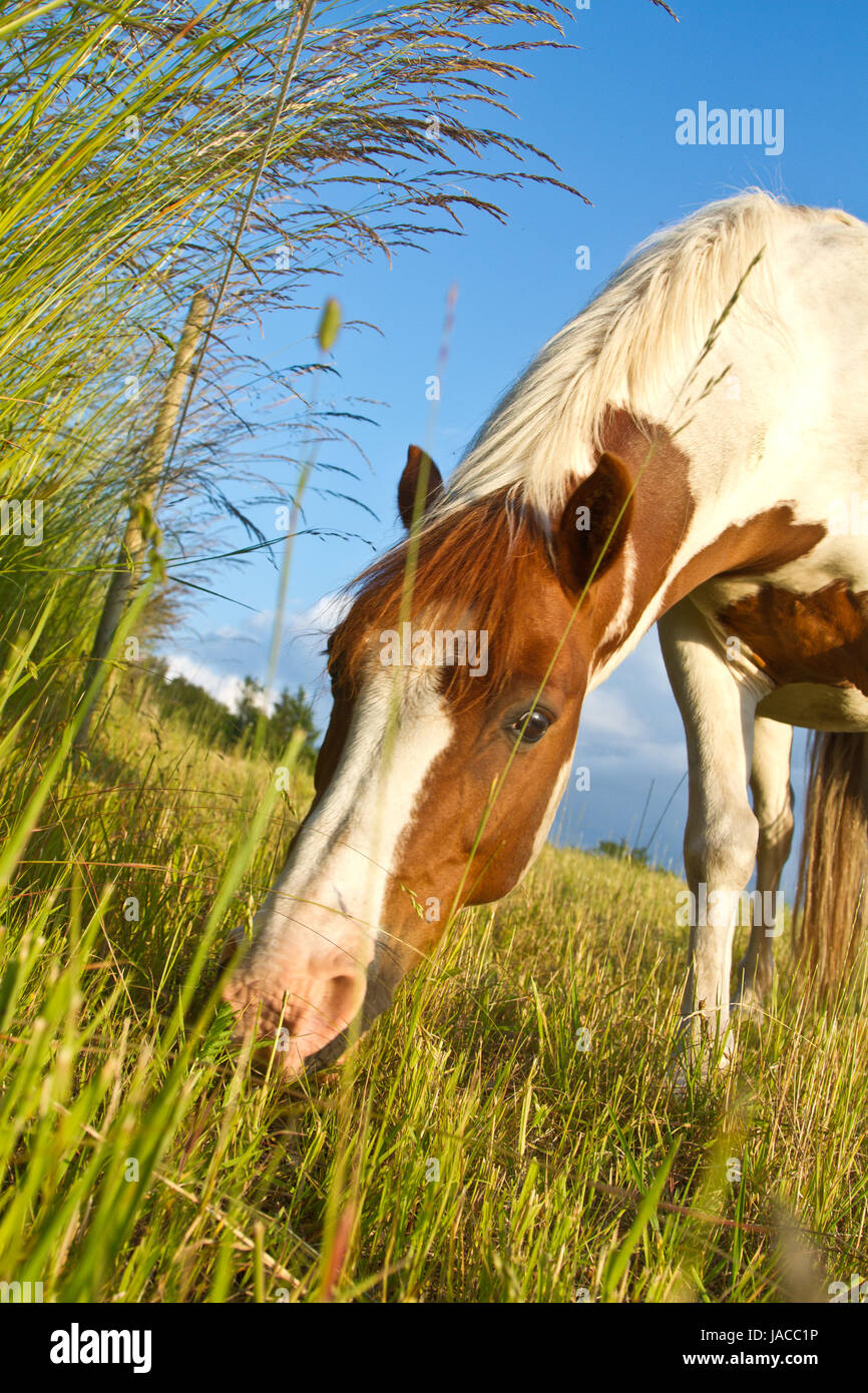Horse on a field in the summer in denmark - Stock Image
