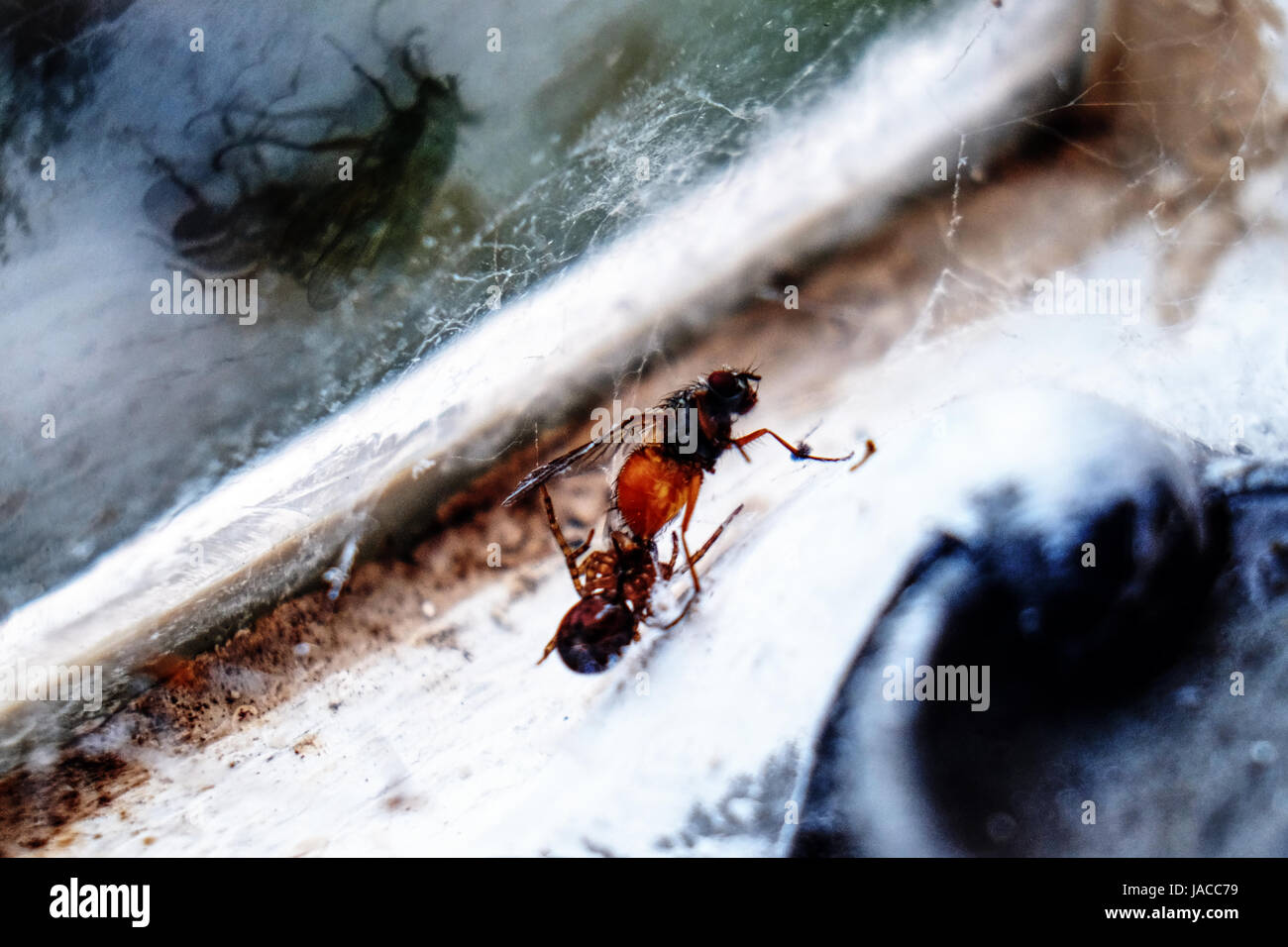 A spider catching a fly in its web - Stock Image