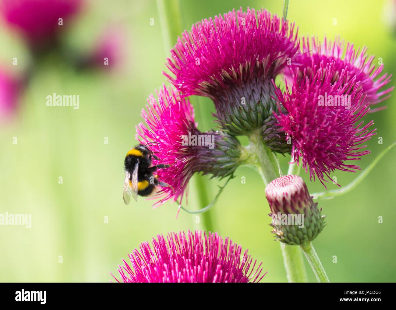Bombus terrestris - buff tailed bumblebee - on cirsium rivulare atropurpureum deep pink flower - Stock Image