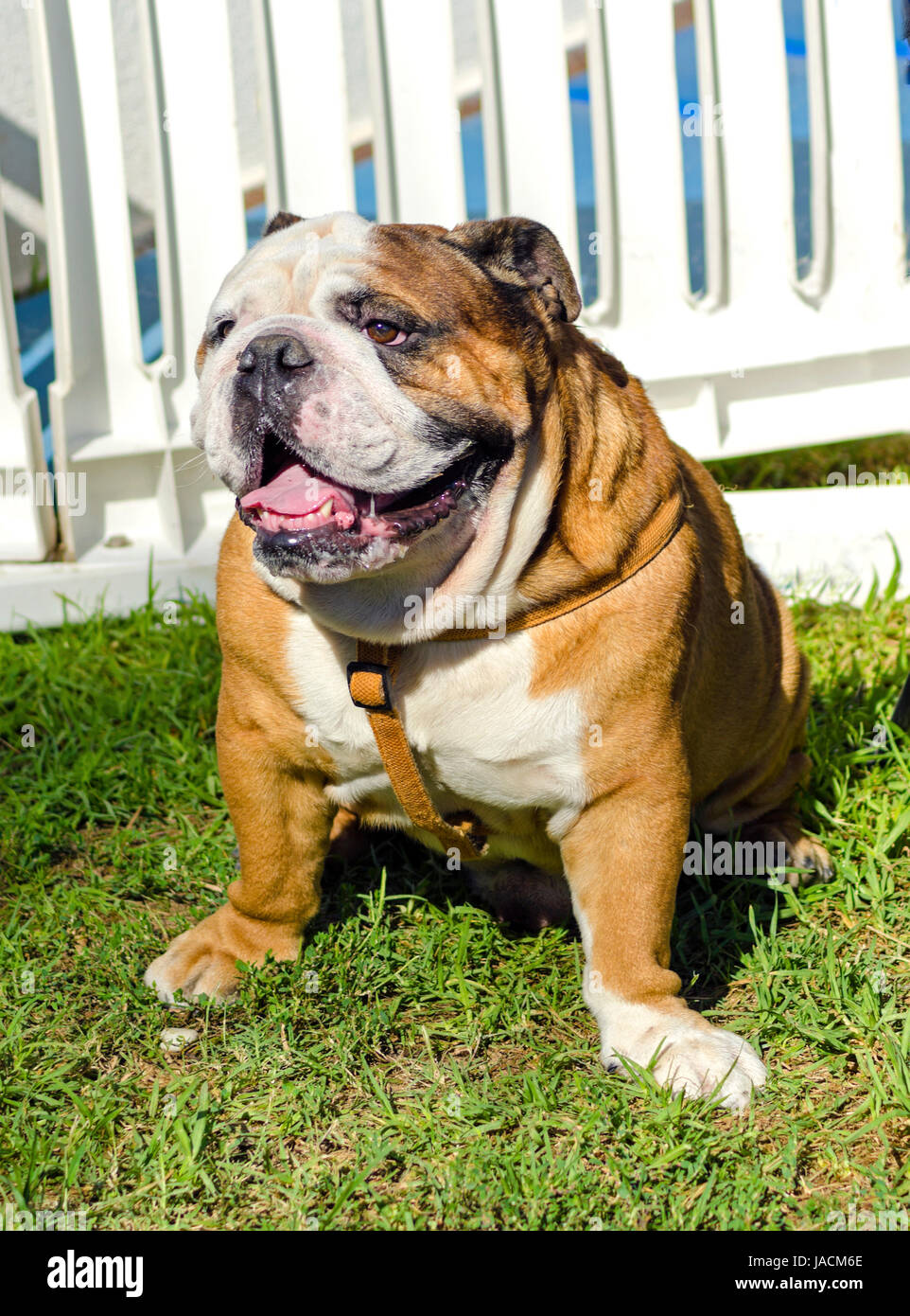 A small, young, beautiful, brown and white English Bulldog sitting on the lawn while sticking its tongue out and Stock Photo