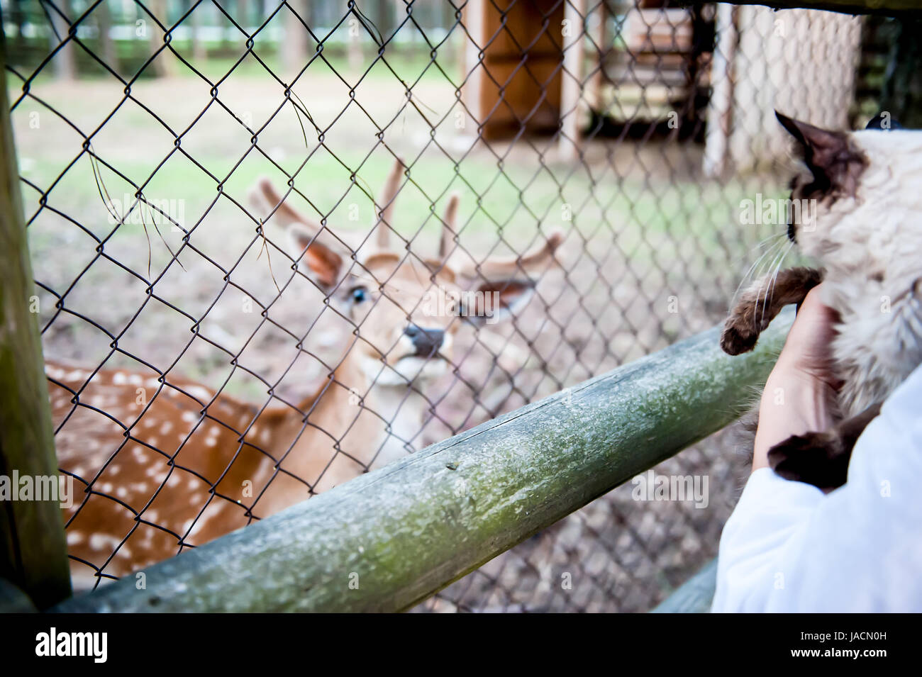 girl feed a deer and keep a furry cat on their hands. The concept of love for animals and pets - Stock Image