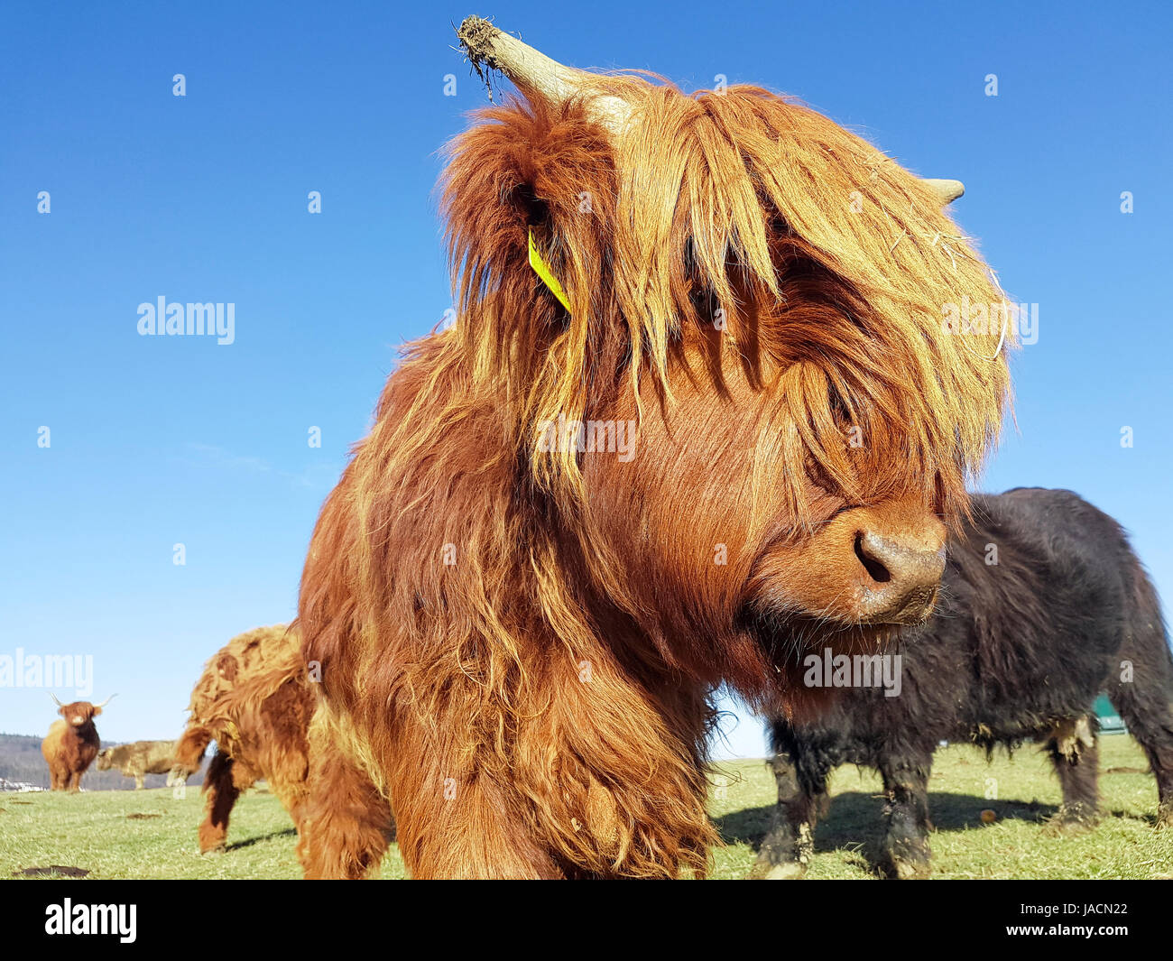 Close up of g highland cattle calf on a green meadow which tries to look through its head of hair. - Stock Image