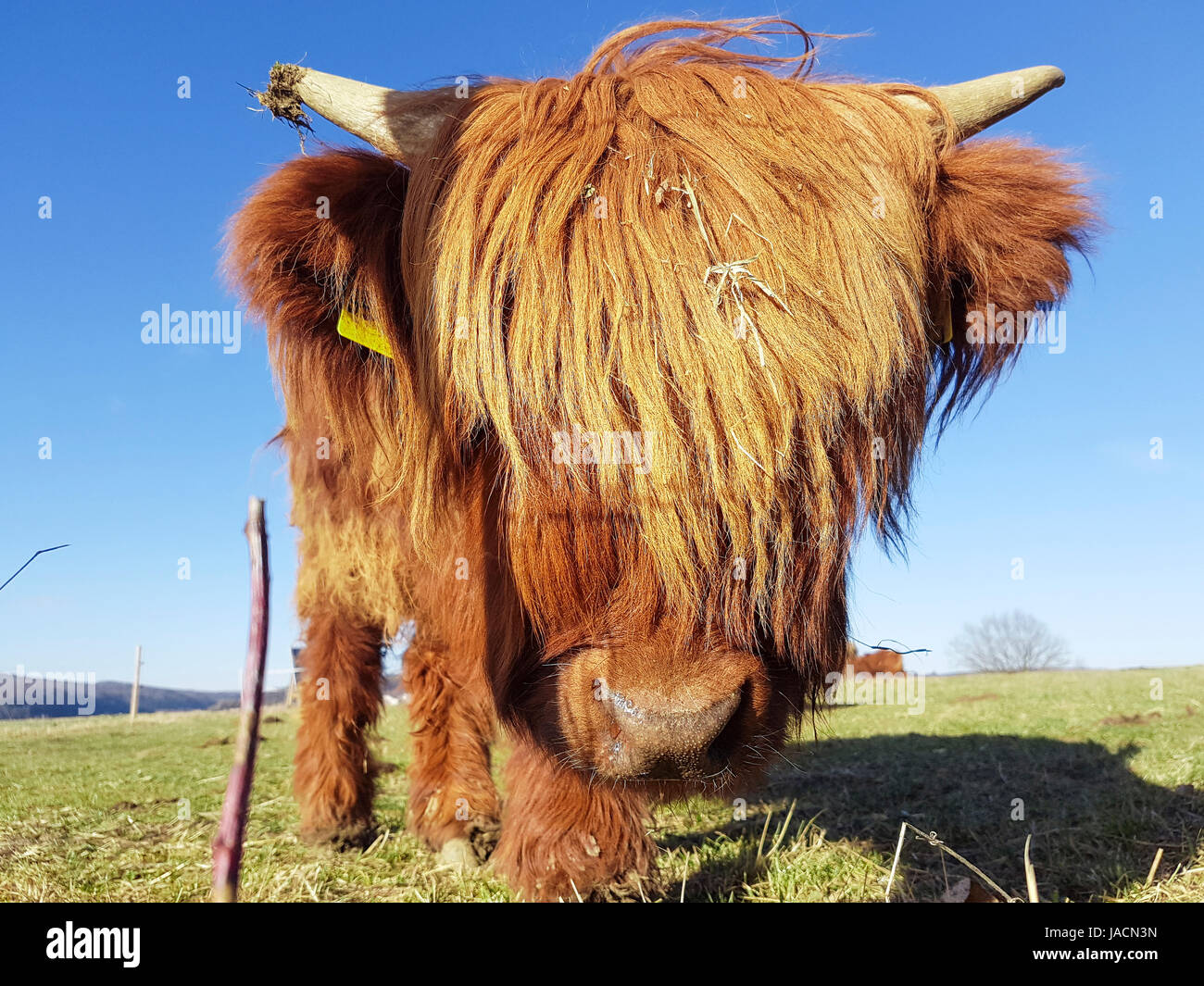 Close up of grass  highland cow on a green meadow which tries to look through its head of hair. - Stock Image