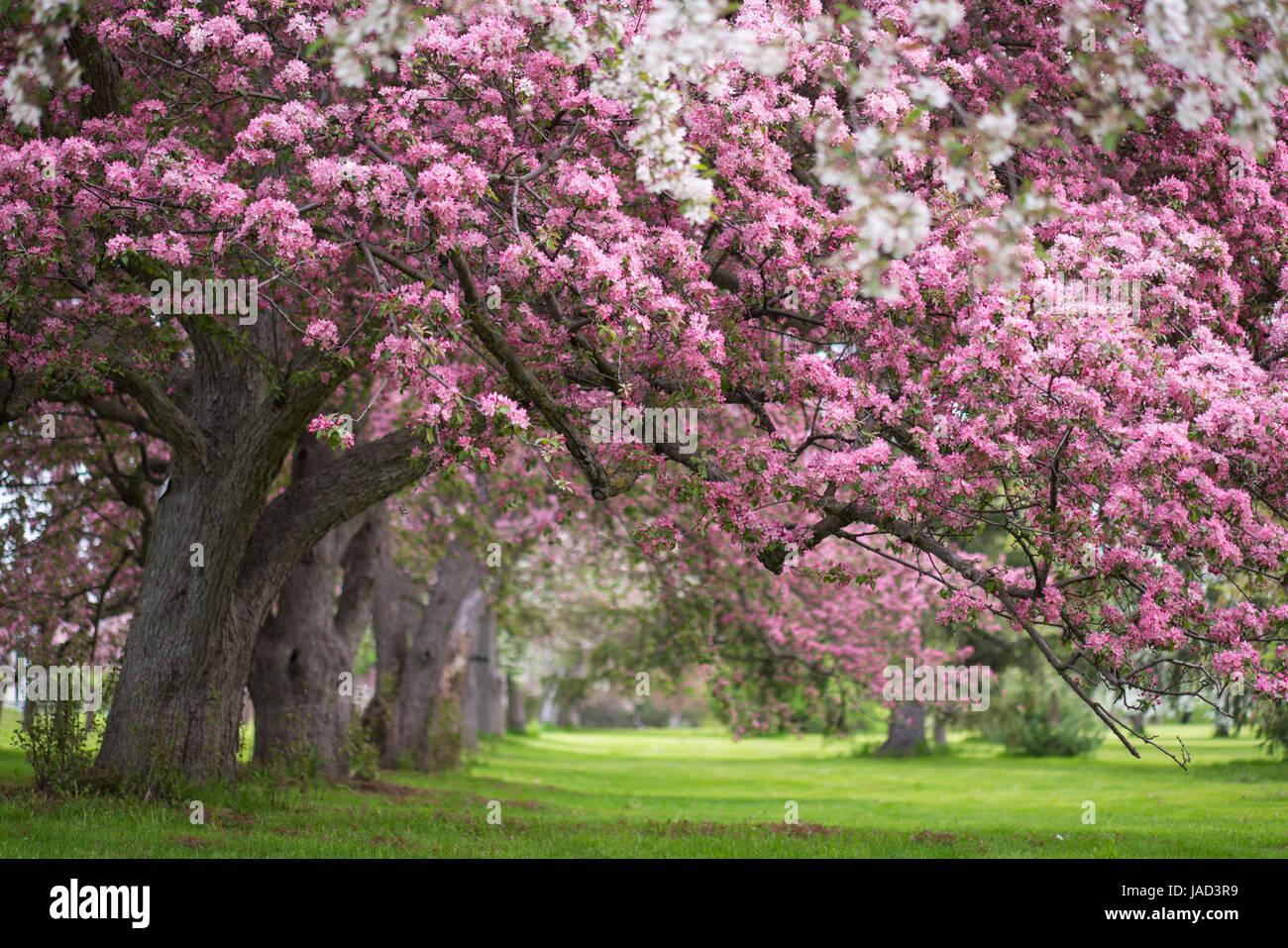 Pink and white flowering trees in ottawa stock photo 144117885 alamy pink and white flowering trees in ottawa mightylinksfo