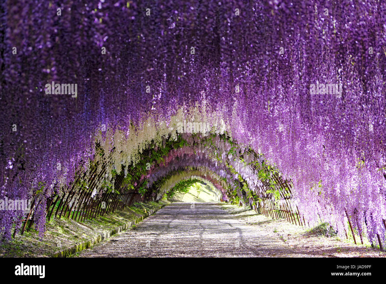 Wisteria Tunnel In Full Bloom At Kawachi Fujien Wisteria Garden In