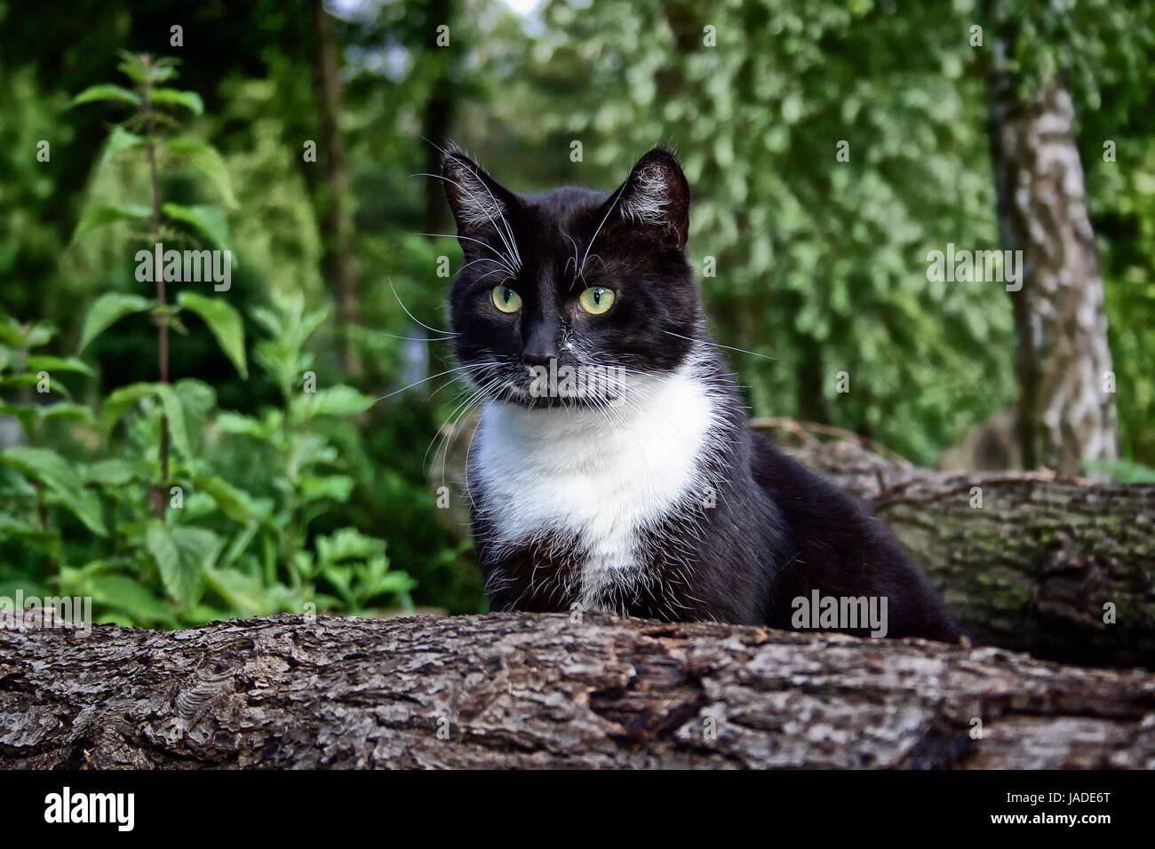 schwarz-weißer Kater auf Lauer - Stock Image