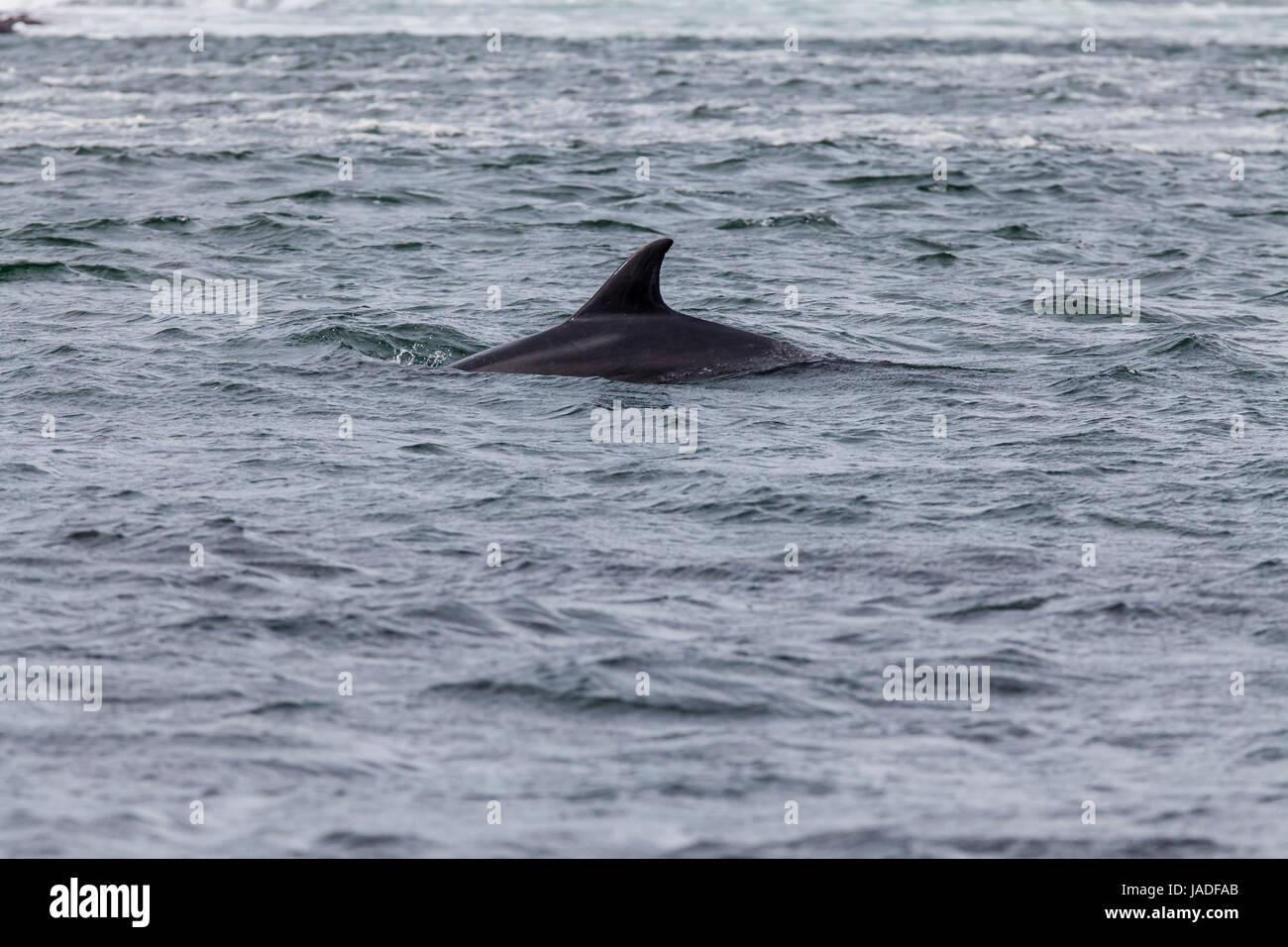 Delfin (Tursiops truncatus) - Stock Image