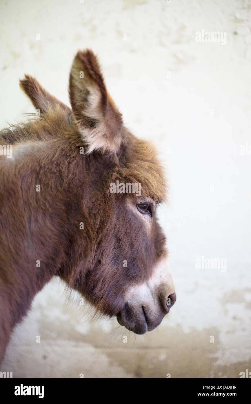 A miniature donkey. - Stock Image