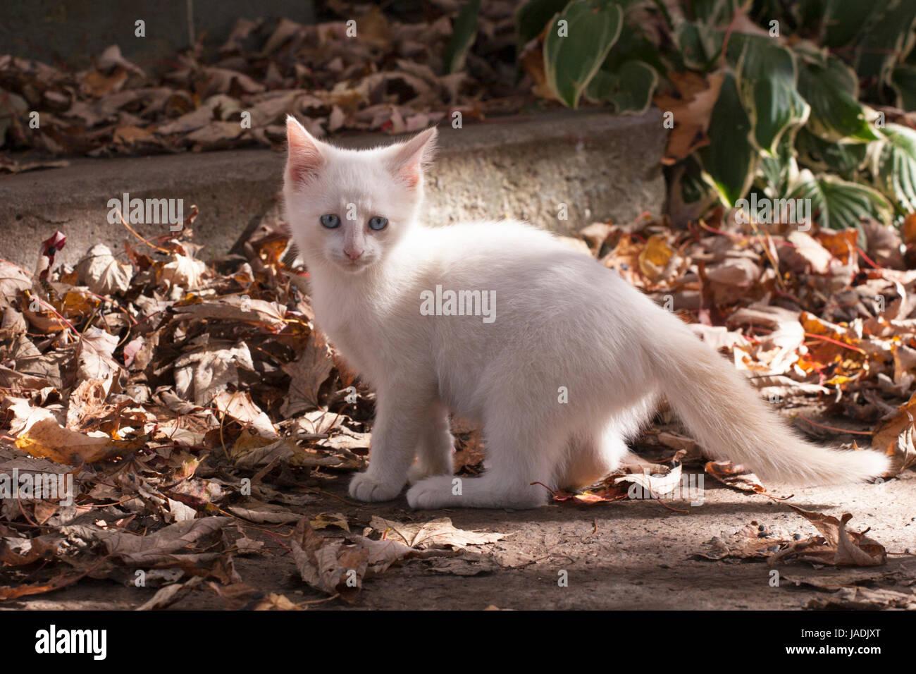 Blue-eyed white kitten among fallen leaves outdoors in autumn - Stock Image