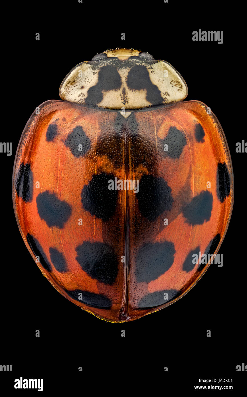 Top view of a multicolored Asian lady beetle. - Stock Image