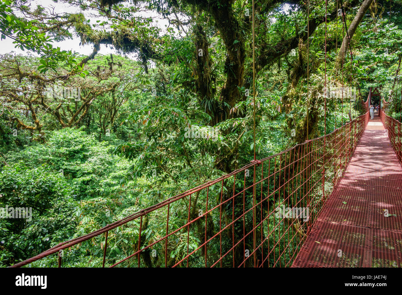 Wide angle view of red hanging bridge in the Rainforest of Monteverde at the right side of the image - Stock Image