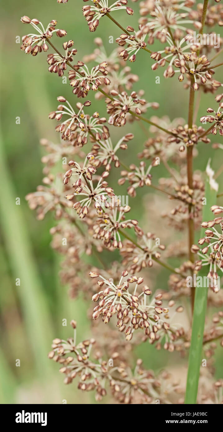 Spring Wildflower Of Australia Australian Native Grass Plant Stock