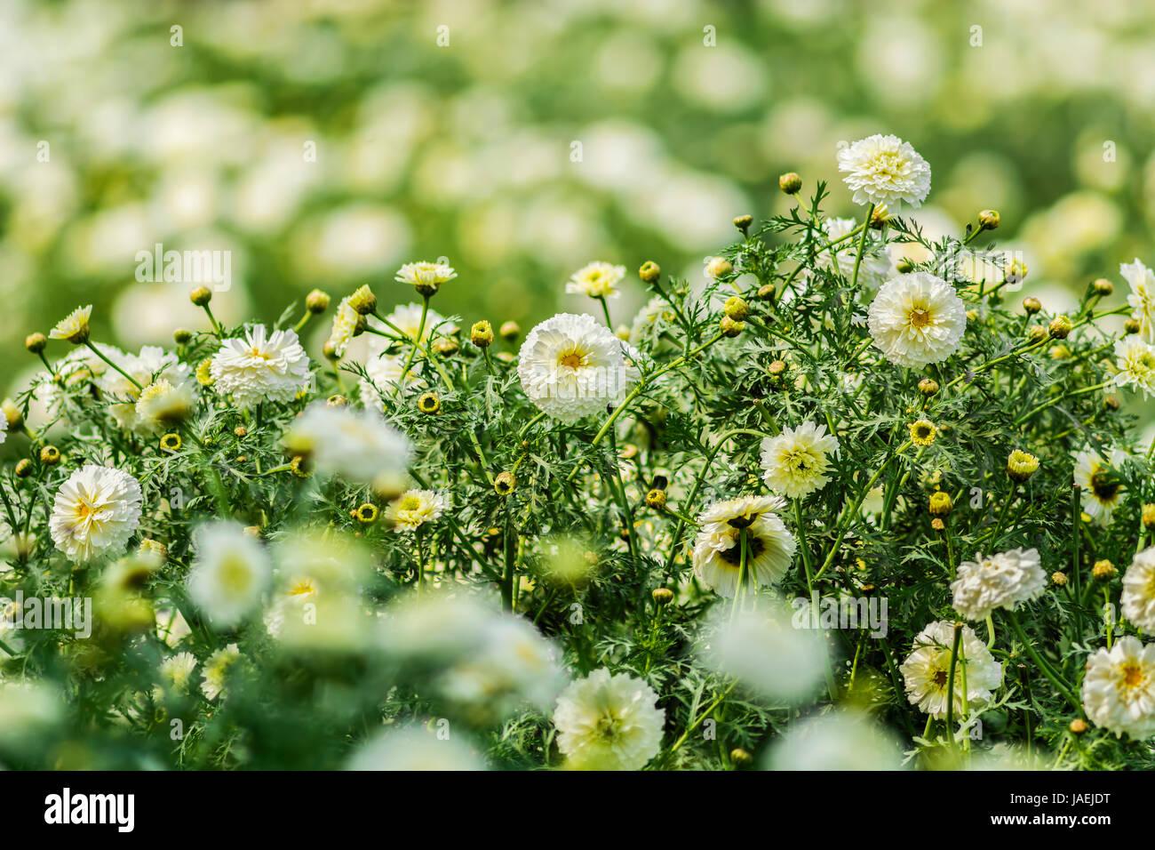 Beautiful white marigold flowers sourrounded by green and yellow beautiful white marigold flowers sourrounded by green and yellow leaves in a garden mightylinksfo