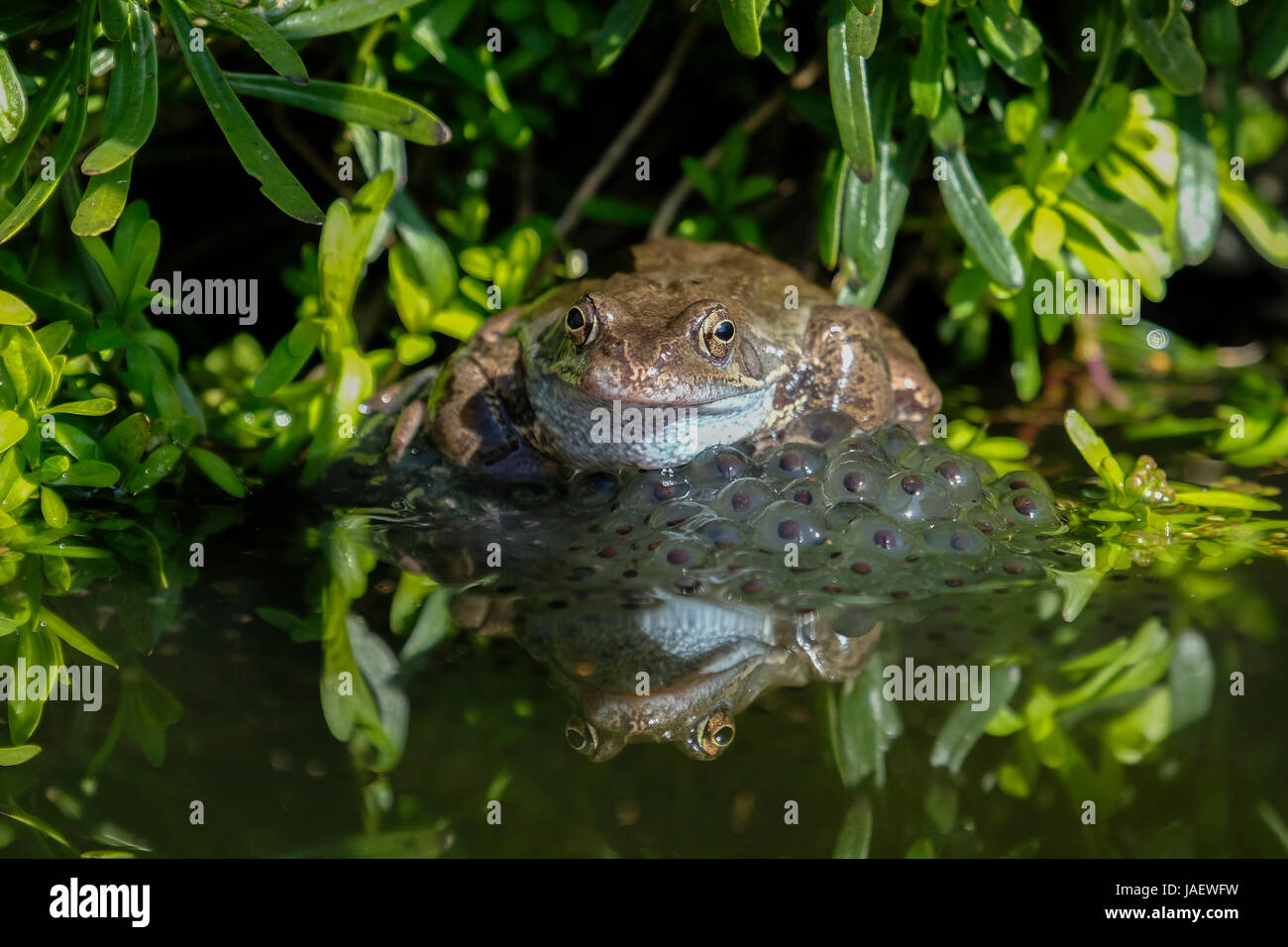 Common Frog  (Rana tempraria) Frogs Spawn - Stock Image