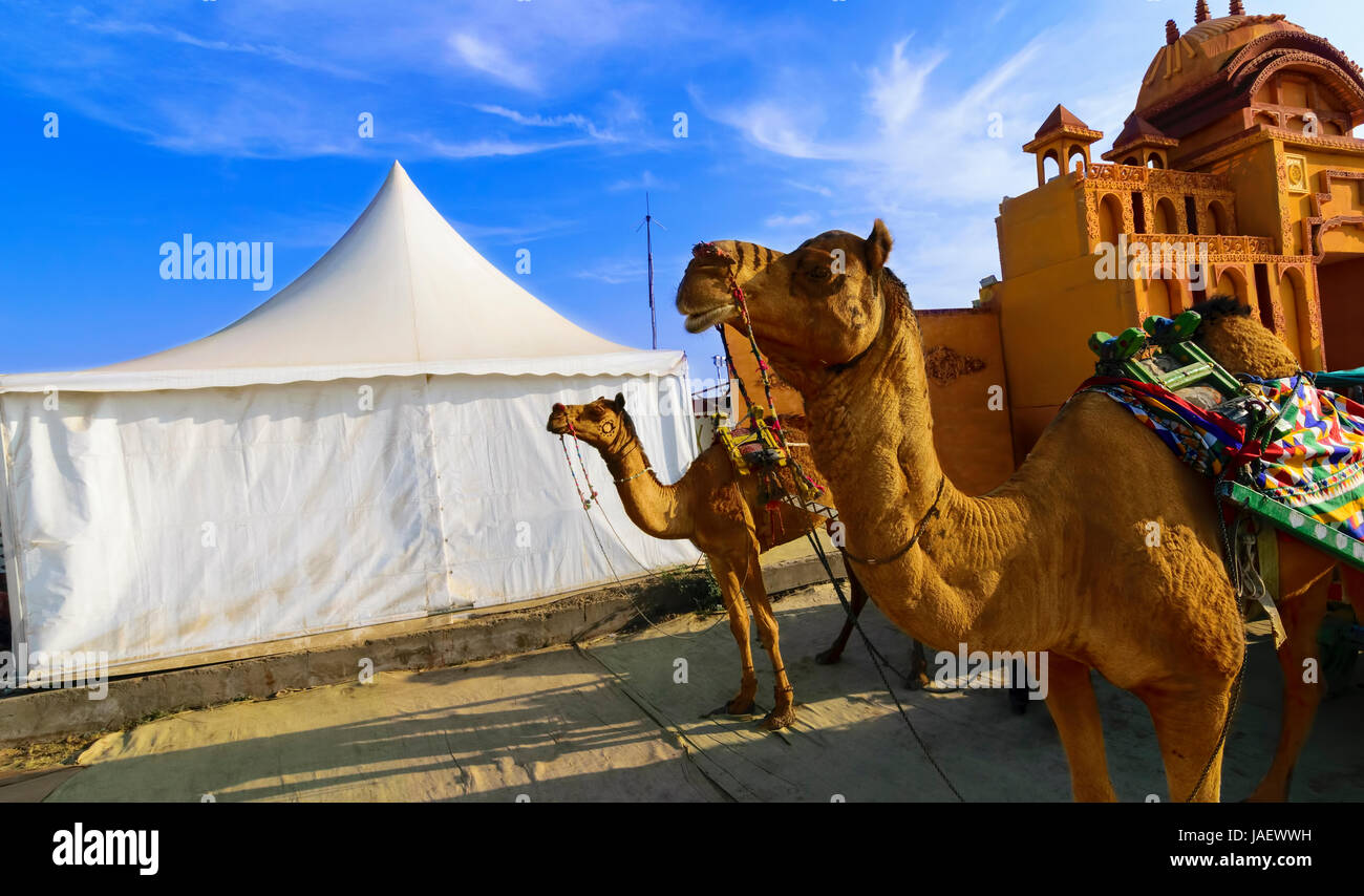 Camel ride at the great Rann of Kutch (Rann Utsav), Salty Landscapes, Gujarat, India - Stock Image