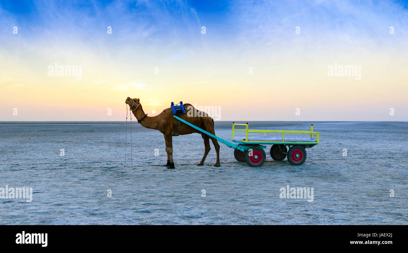 Beautiful sunset camel ride view at great Rann of Kutch, Salty Landscapes, Gujarat, India - Stock Image