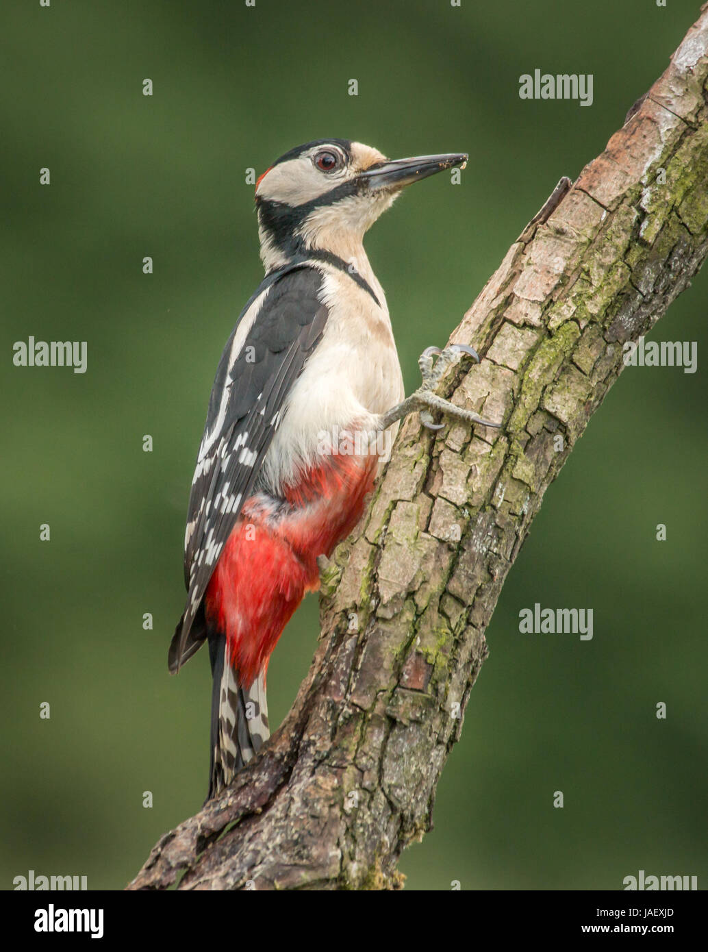 Great spotted woodpecker male clinging to tree branch, with foliage as background - Stock Image