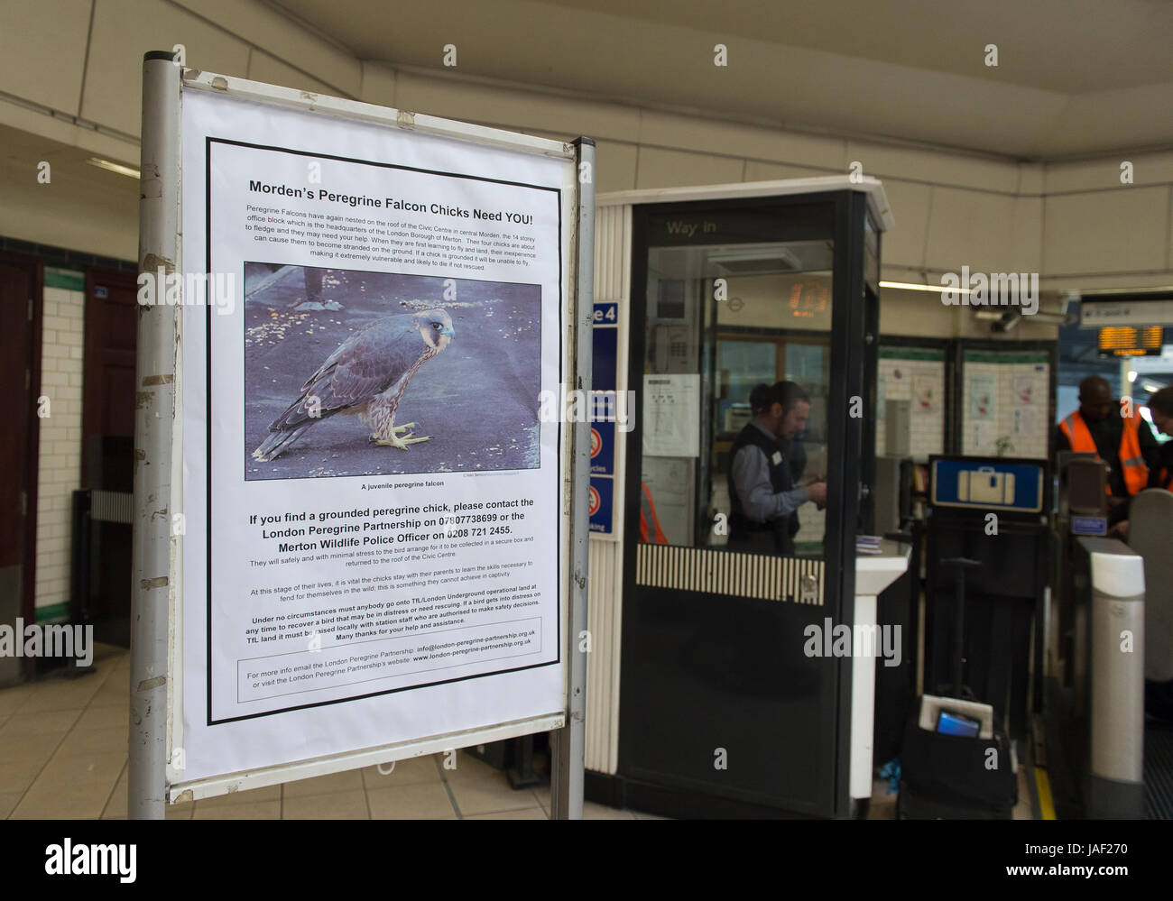 Morden Station, London UK. 6th June 2017. Peregrine Falcons regularly nest on the roof of 14 storey Civic Centre - Stock Image