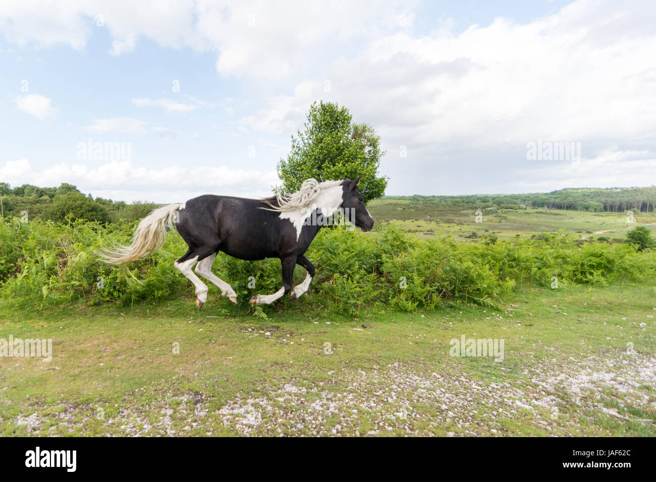 Godshill, New Forest, Hampshire, UK. 6th June, 2017. Running with the wind in its hair. A blustery weather day with - Stock Image
