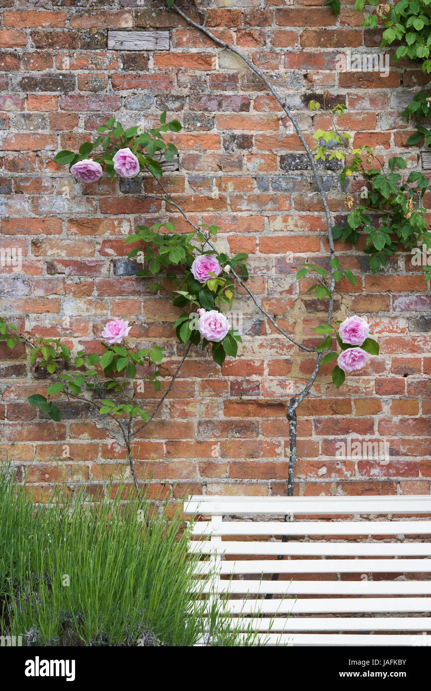 Pink Roses against a brick wall at Rousham house gardens Stock Photo ...