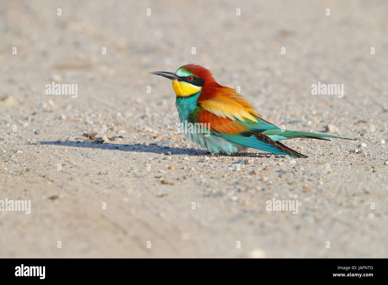 Adult European Bee-eater (Merops apiaster) in Northern Greece Stock Photo