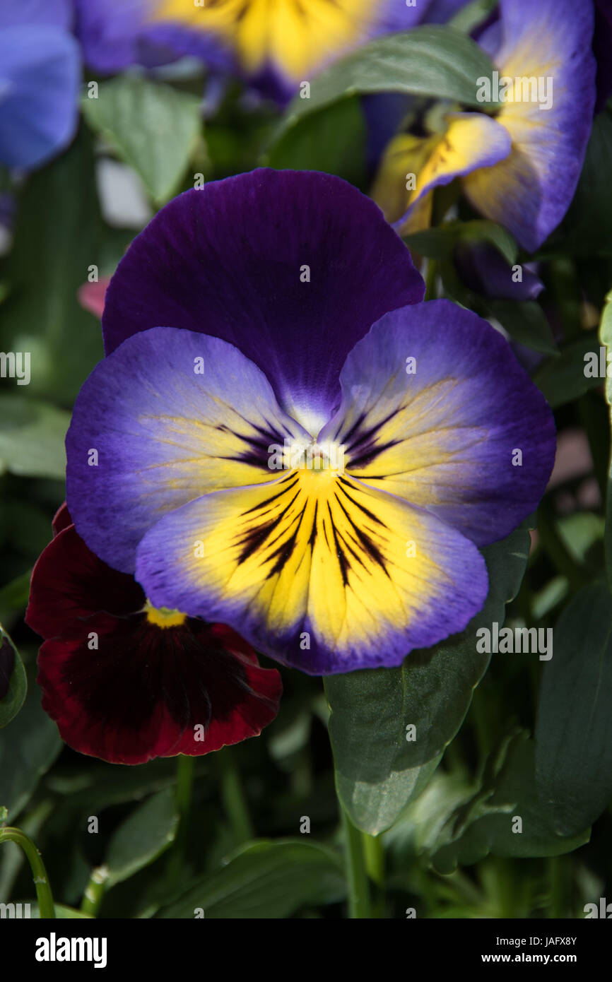 Pansies make perfect flowering plants for pots, containers & window boxes etc... - Stock Image