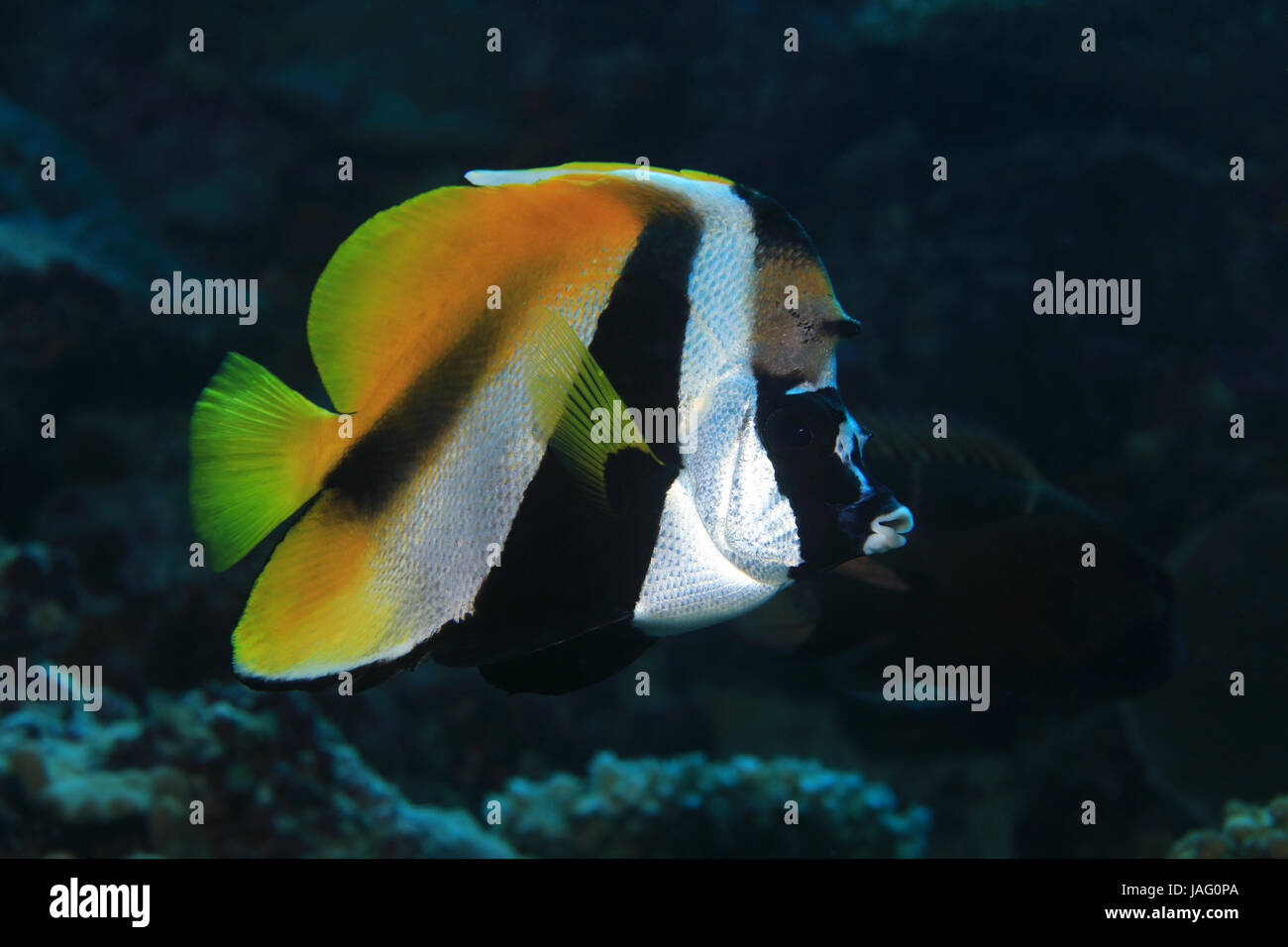 Masked bannerfish (Heniochus monoceros) underwater in the tropical waters of the indian ocean - Stock Image