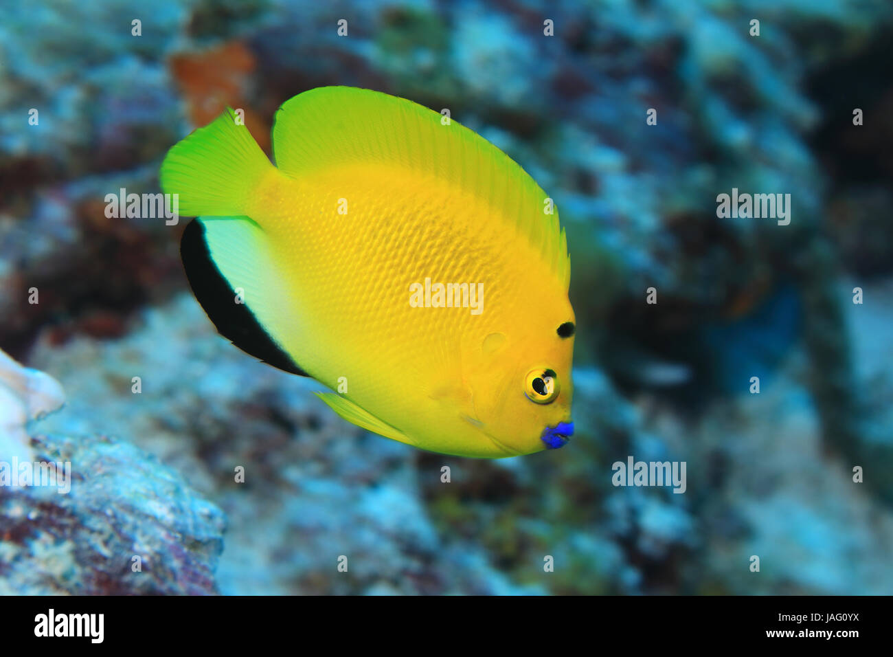 Treespot angelfish (Apolemichthys trimaculatus) underwater in the indian ocean - Stock Image