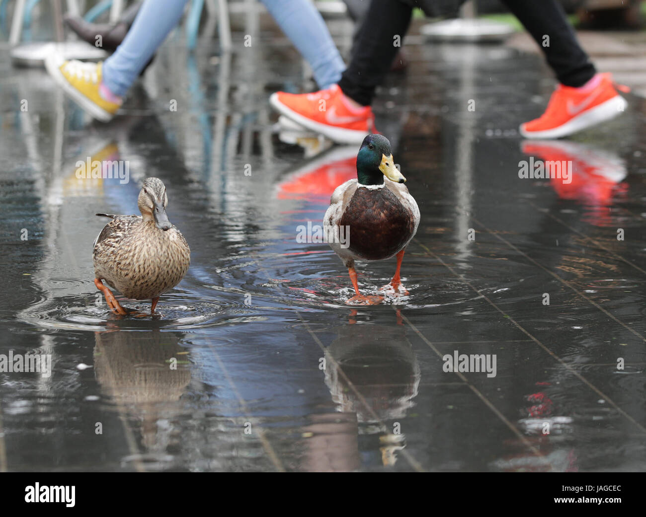 A pair of ducks sit in a pool of water along the Southbank, in London, following heavy rainfall. - Stock Image
