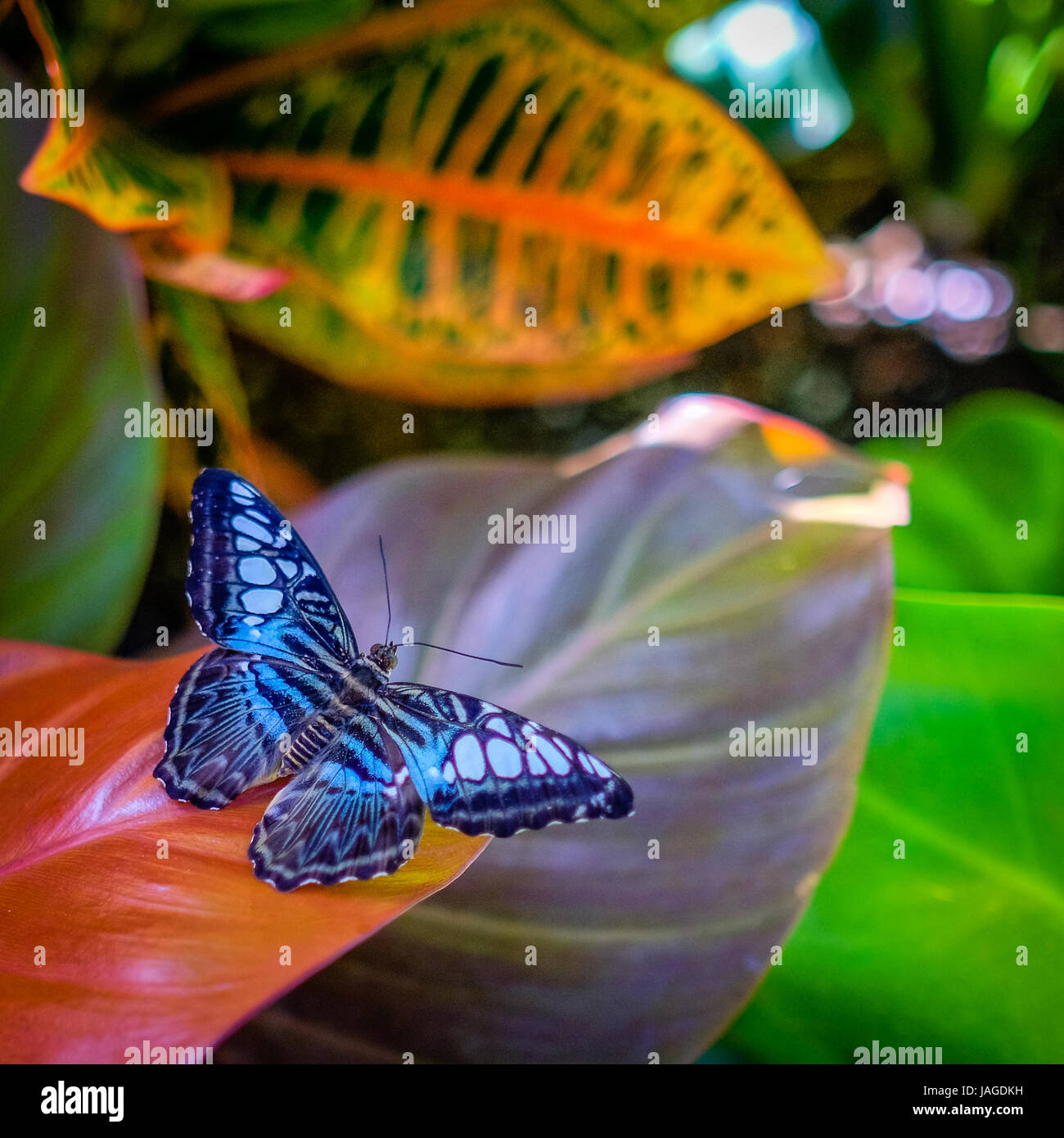 Beautiful bright iridescent blue butterfly resting on a tropical plant in Calloway Gardens, Georgia, USA. - Stock Image
