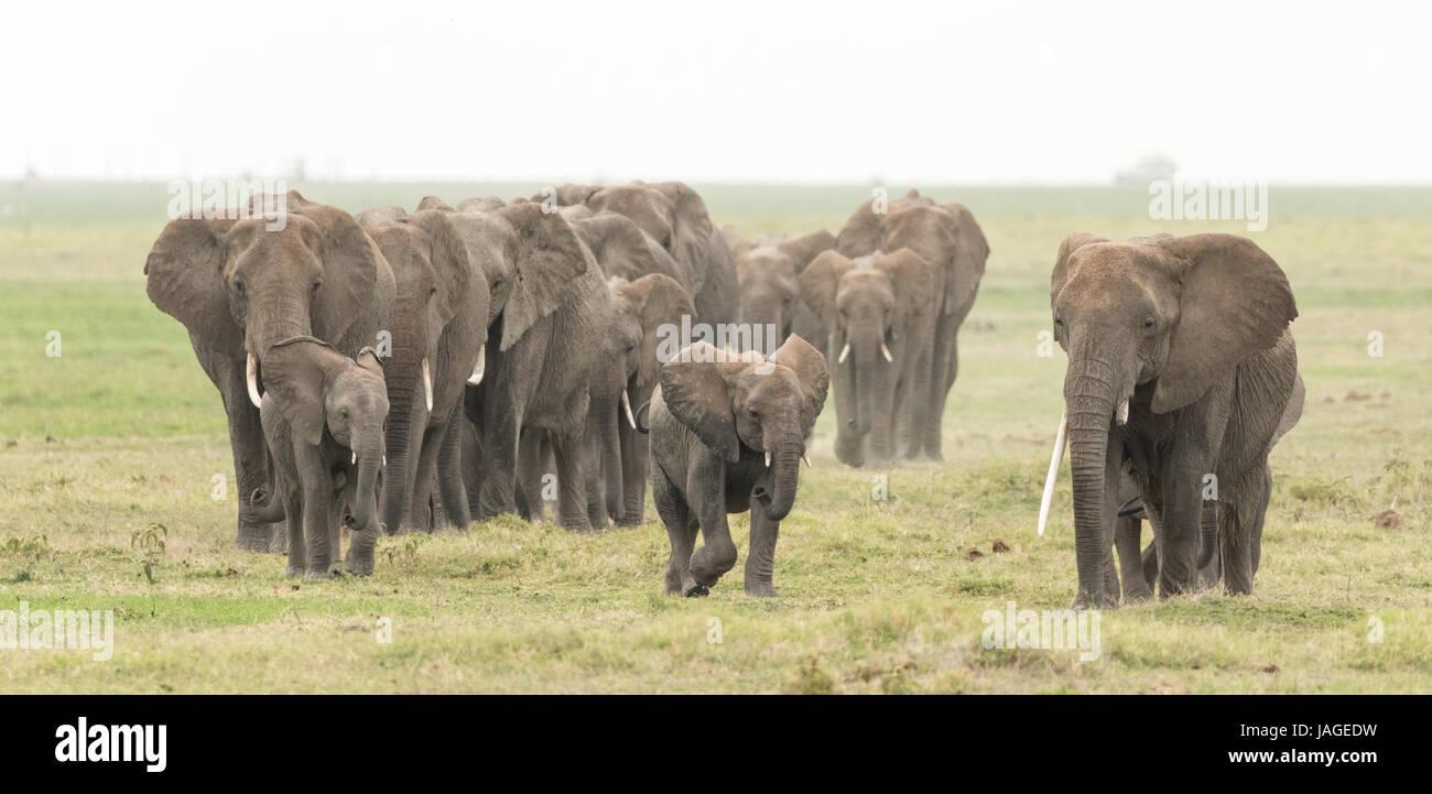 Large herd of African Elephants in Kenya's Amboseli National Park - Stock Image