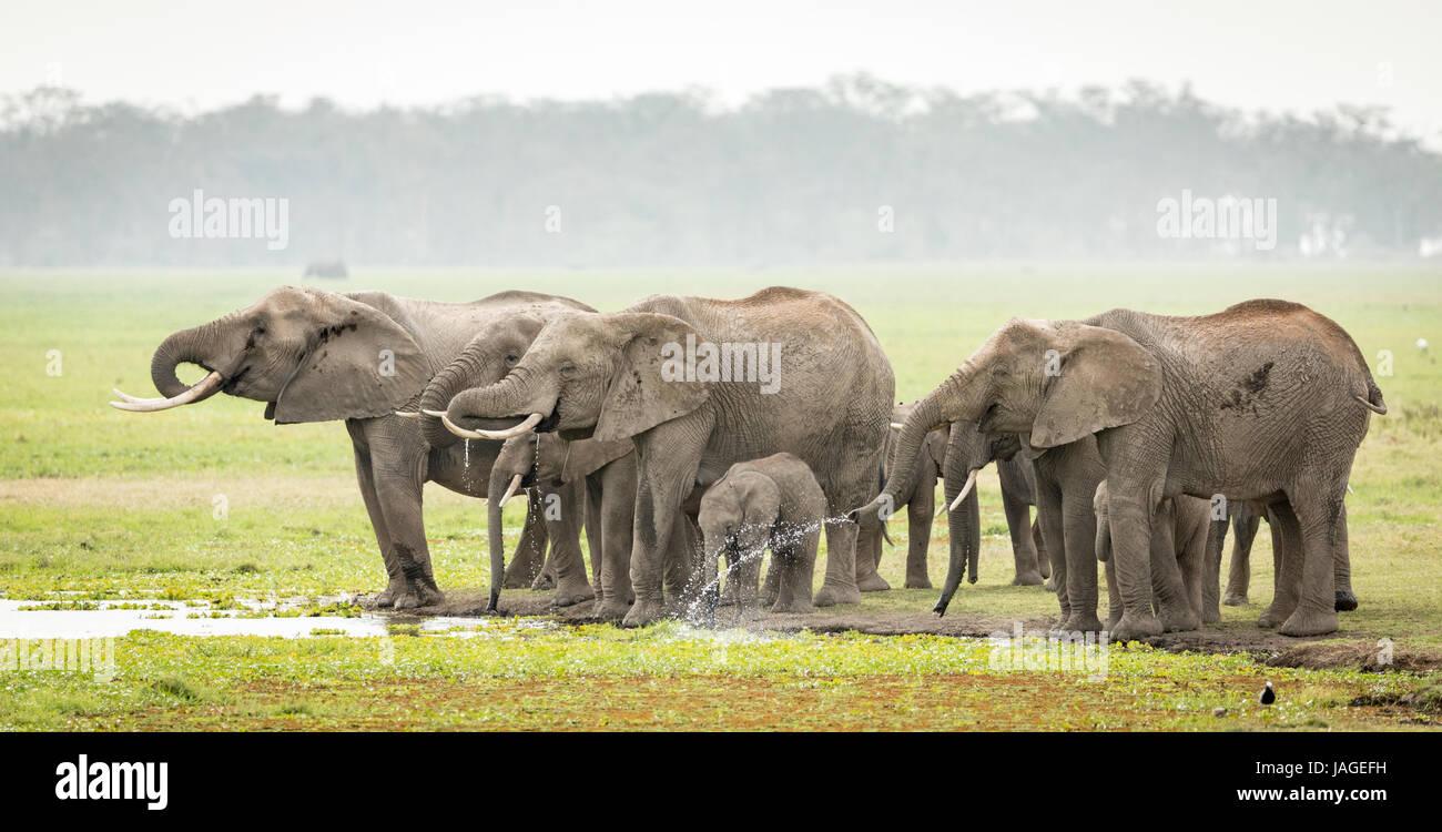 A herd of Elephants drinking water in Kenya's Amboseli National Park - Stock Image