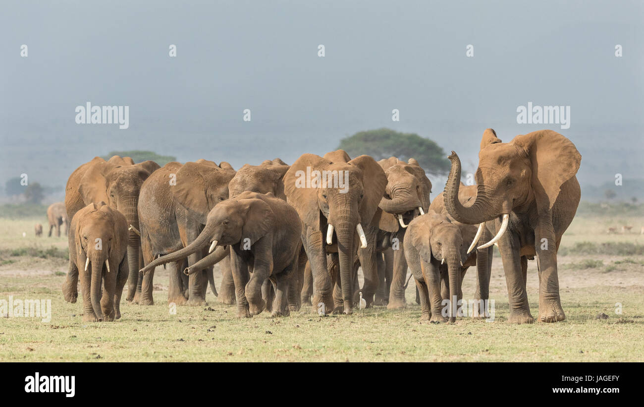 A large herd of African Elephants crosses open ground in Kenya;s Amboseli National Park - Stock Image