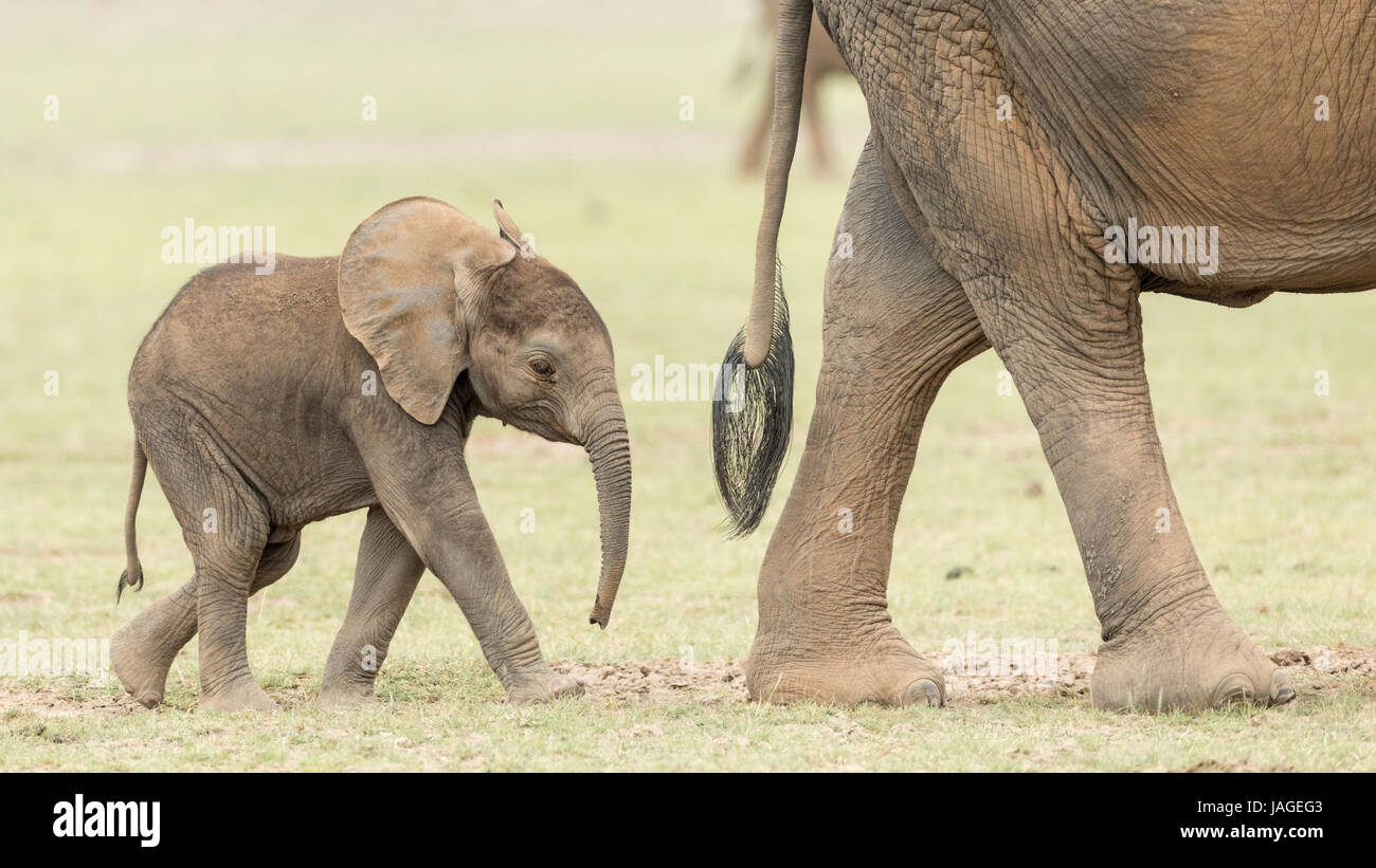 Baby African Elephant following its mother in Kenya's Amboseli National Park - Stock Image