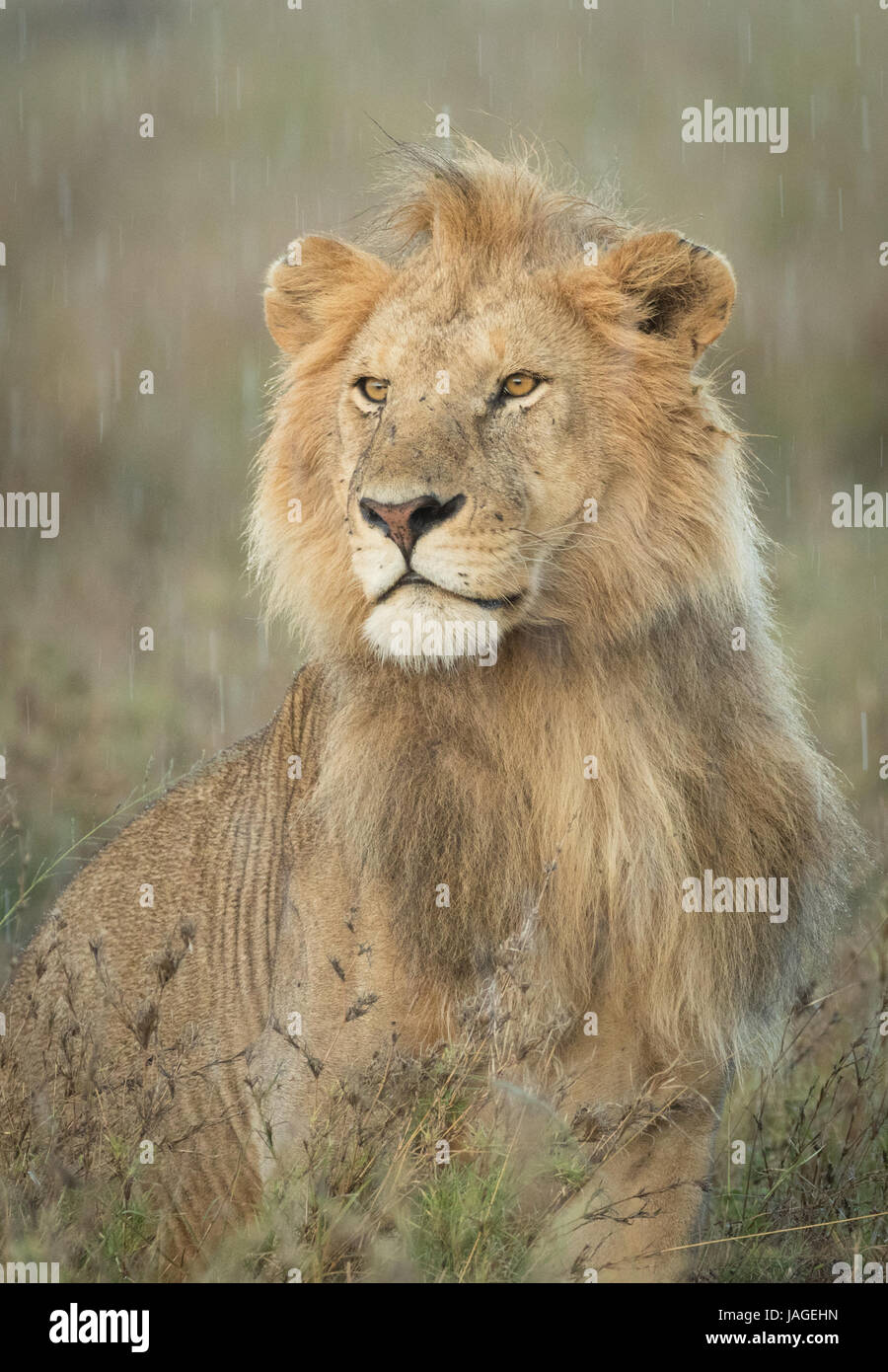 Alert Male Lion standing in the rain, Serengeti National Park, Tanzania - Stock Image