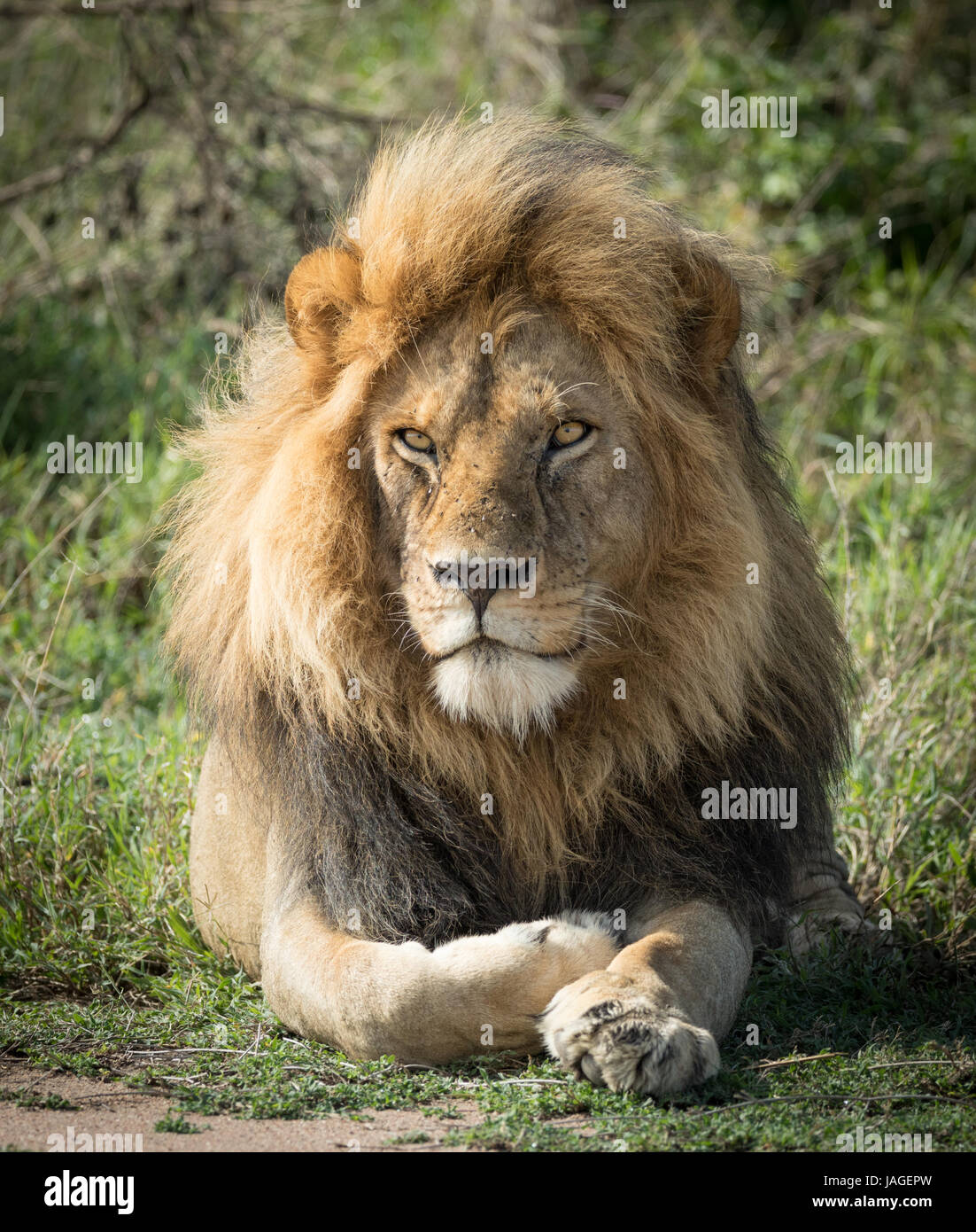 Portrait of a large adul male Lion in the Serengeti National Park in Tanzania - Stock Image