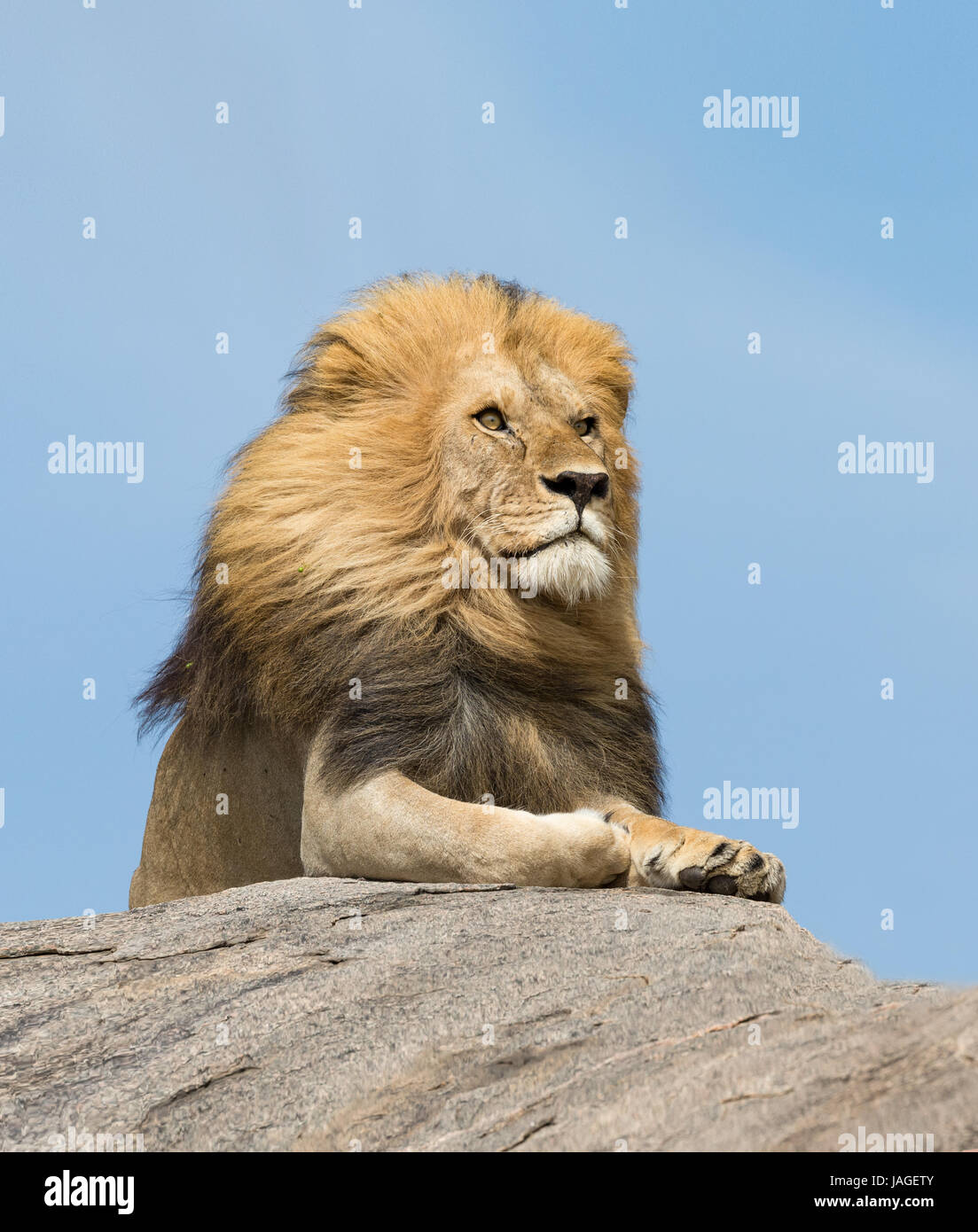 Portrait of a large male Lion on top of a rock in Tanzania's Serengeti National Park - Stock Image