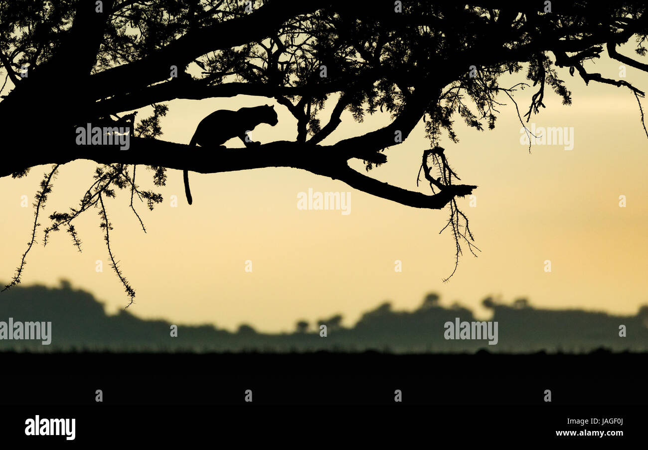Adult Leopard resting in a tree at sunrise in Tanzania's Serengeti National Park Stock Photo