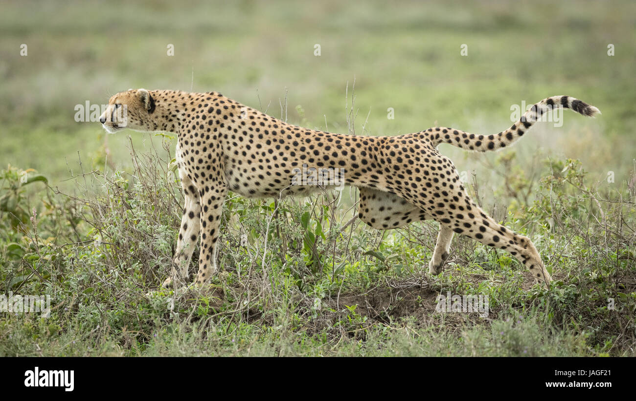 Female adult Cheetah stretching after a rst in the Serengeti National Park in Tanzania - Stock Image