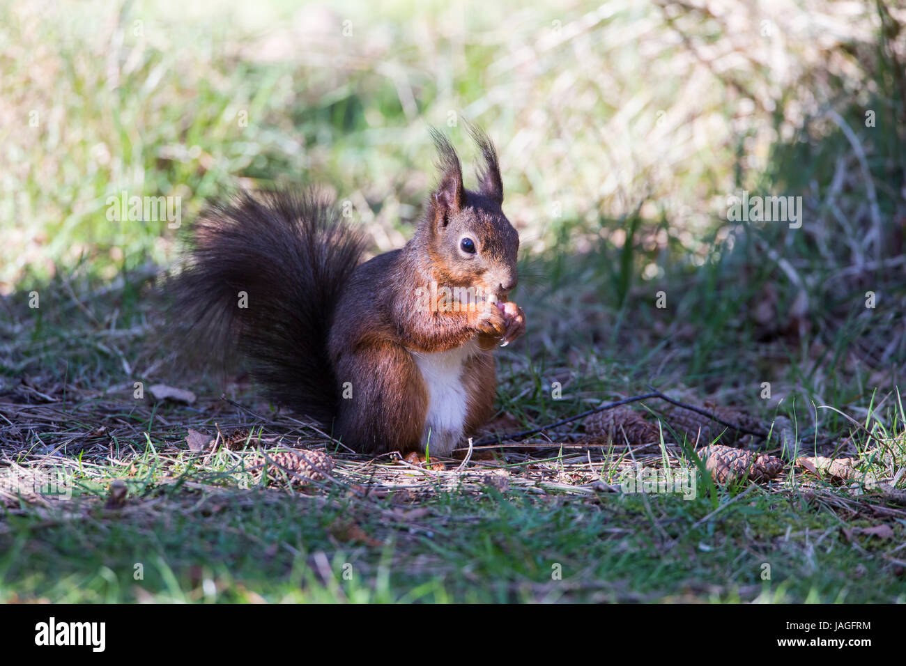 Red Squirrel Sciurus vulgaris on Anglesey - Stock Image