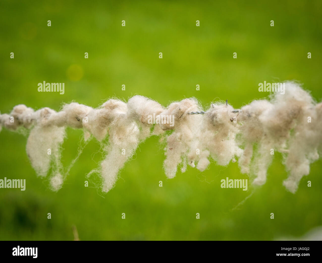 Sheep wool caught on barbed wire fence - Stock Image