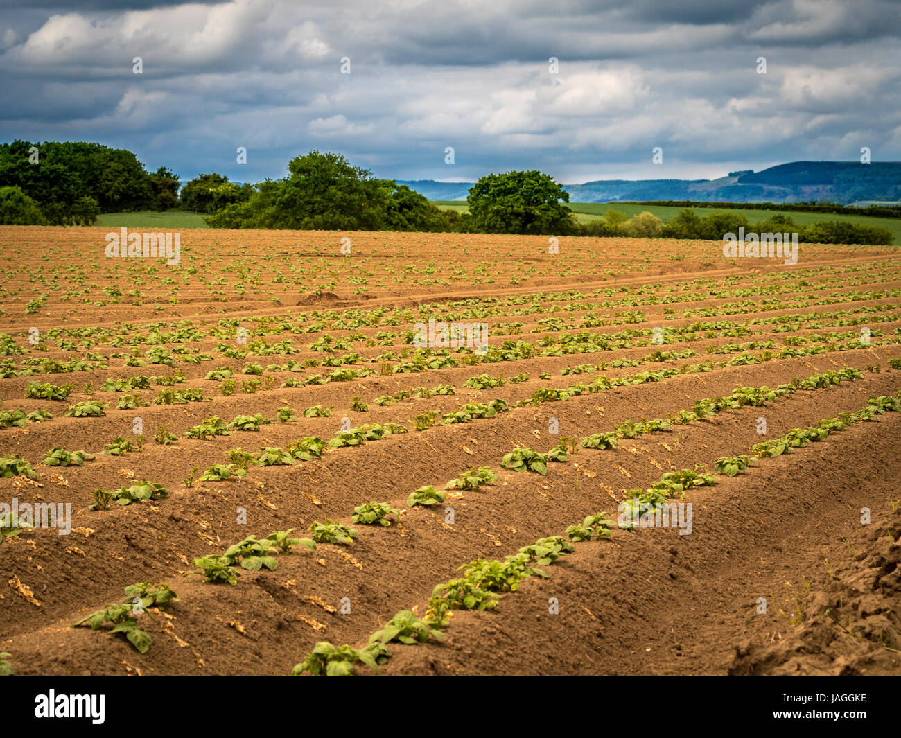 Potato plants growing in field, North Yorkshire, UK. - Stock Image