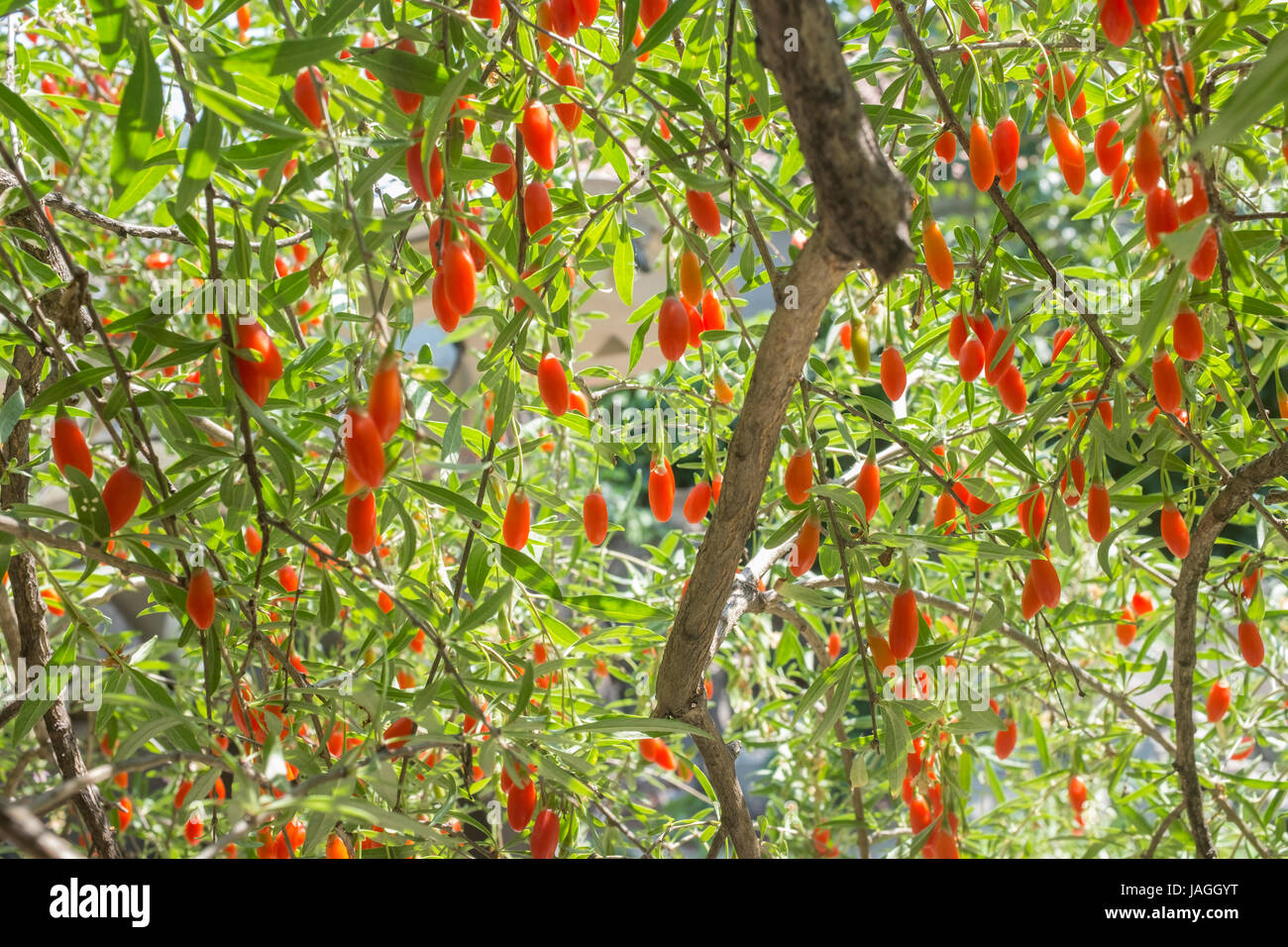 Goji Berry Tree High Resolution Stock Photography And Images Alamy
