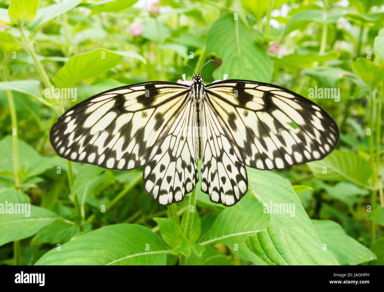Tree Nymph Butterfly ( Idea leuconoe ) . Also called Rice Paper, Paper Kite. - Stock Image
