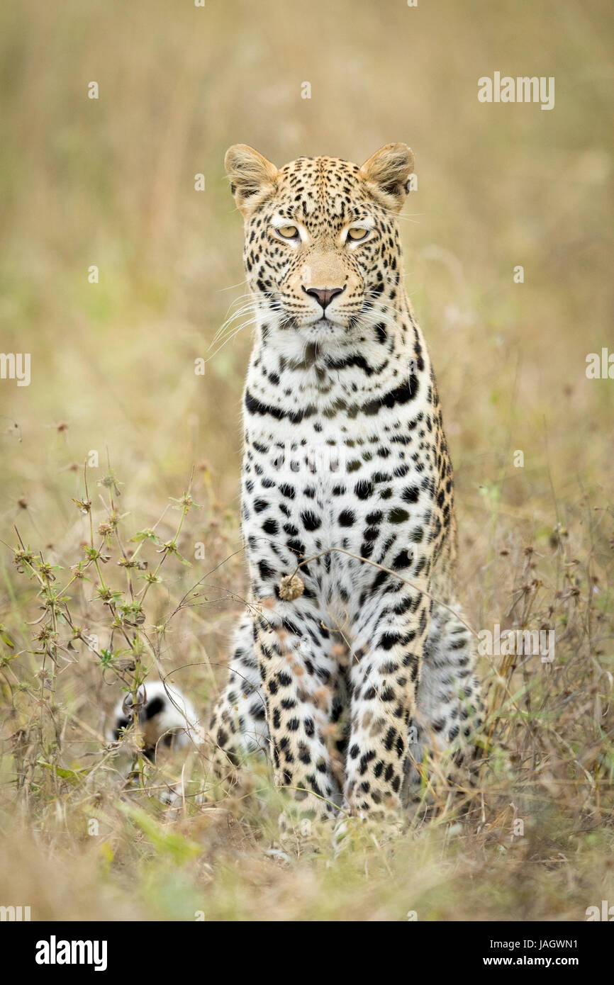 Young male African Leopard sitting in the grass, Okavango Delta, Botswana - Stock Image