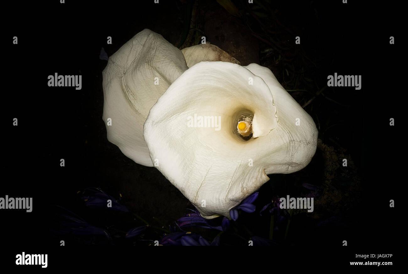 Closeup of a white color zantedeschia aethiopica or lily of the nile closeup of a white color zantedeschia aethiopica or lily of the nile or calla lilies flower isolated izmirmasajfo