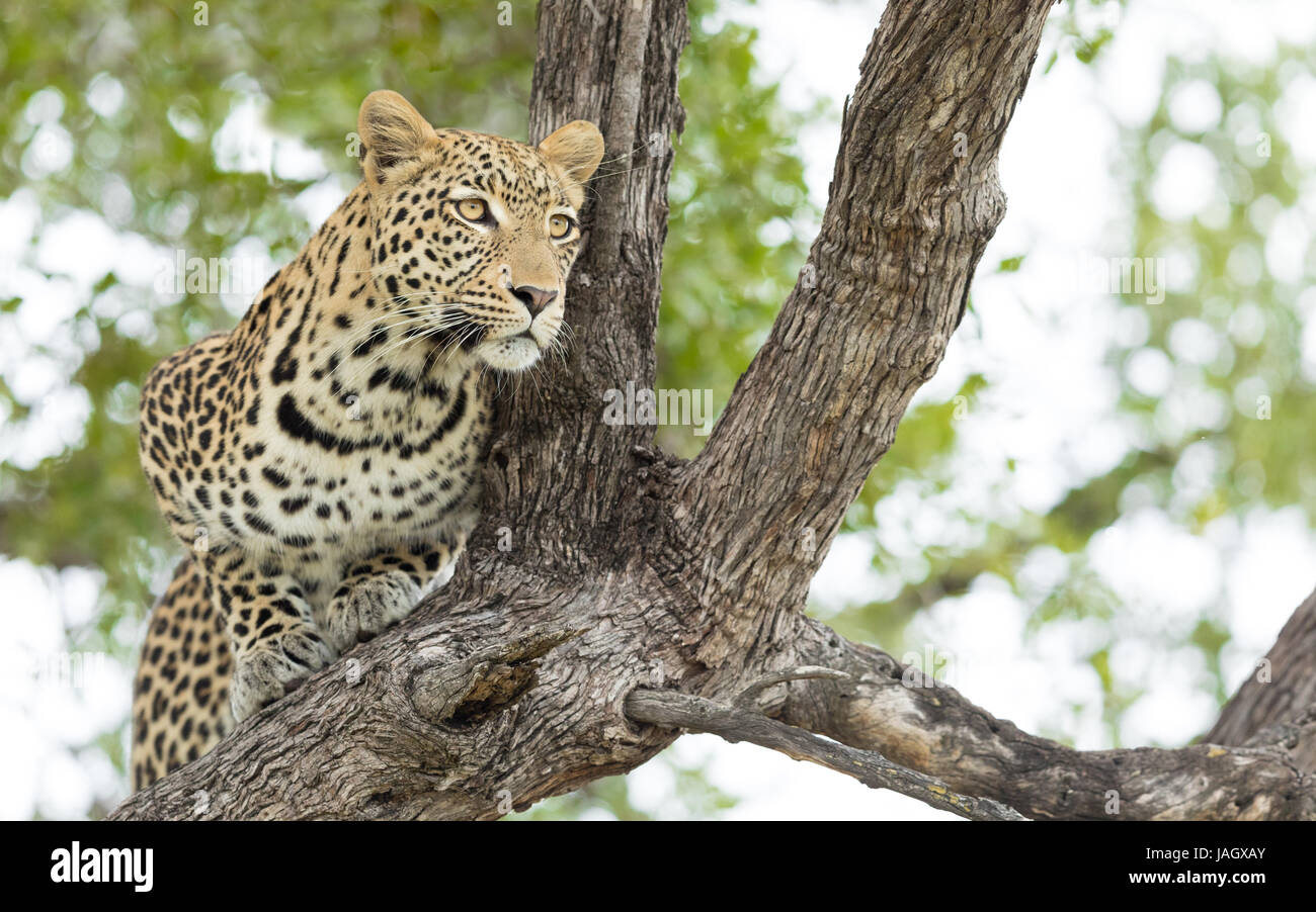 Young male African Leopard in a tree in the Okavango Delta of Botswana - Stock Image