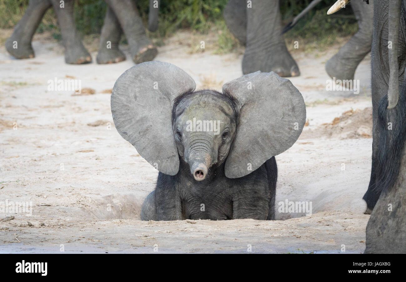 Young baby African Elephant with ears out and trunk up, Savuti area of Chobe National Park in Botswana - Stock Image